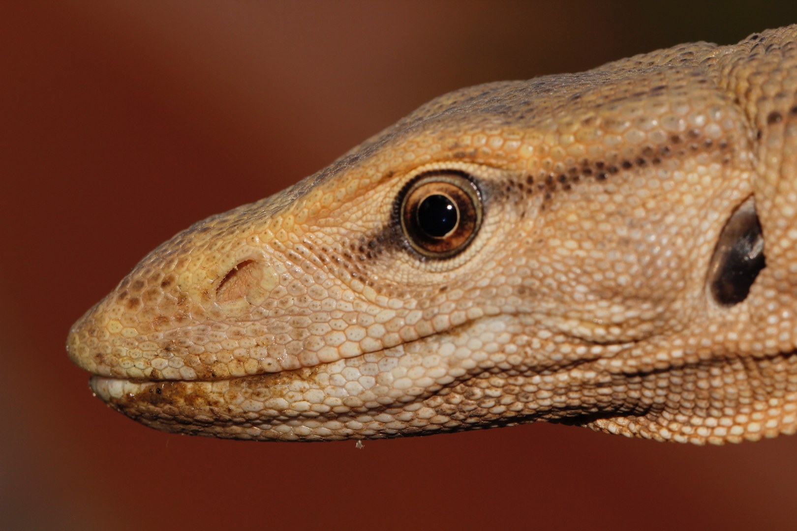 While hunting, monitor lizards rely a lot on sight. They also have relatively good hearing. Photo: Gerry Martin