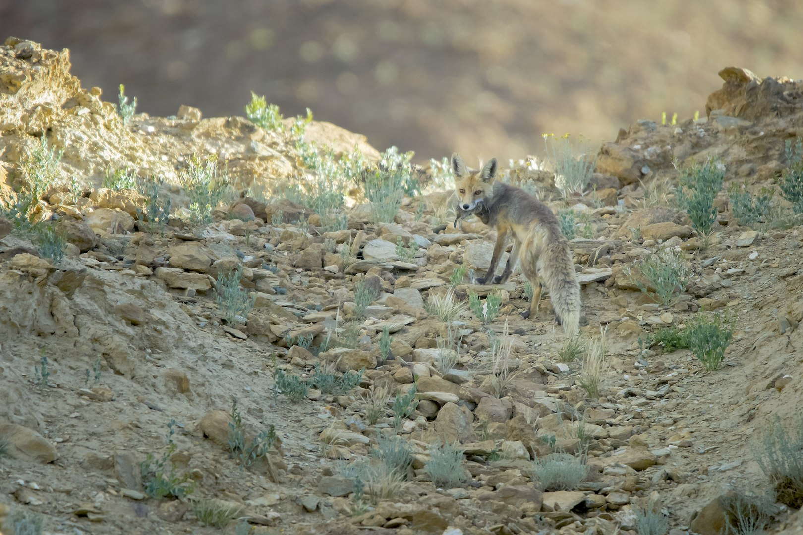 Red foxes have a varied and eclectic diet, which allows them to adapt to a number of landscapes and situations. They are skilled hunters that employ camouflage and swiftness to catch prey, though increasingly, populations around human habitation have begun to rely on garbage dumps for nutrition. Photo: Saurabh Sawant