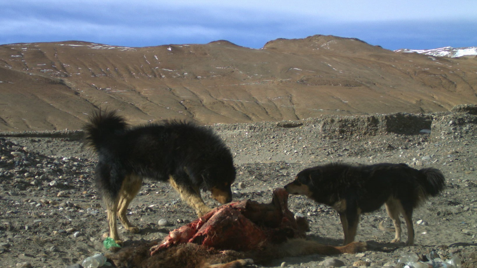Dogs dominate carcass site remaining in the spot for three or four days, until they consume the meal in its entirety. Photo: Subhashini Krishnan