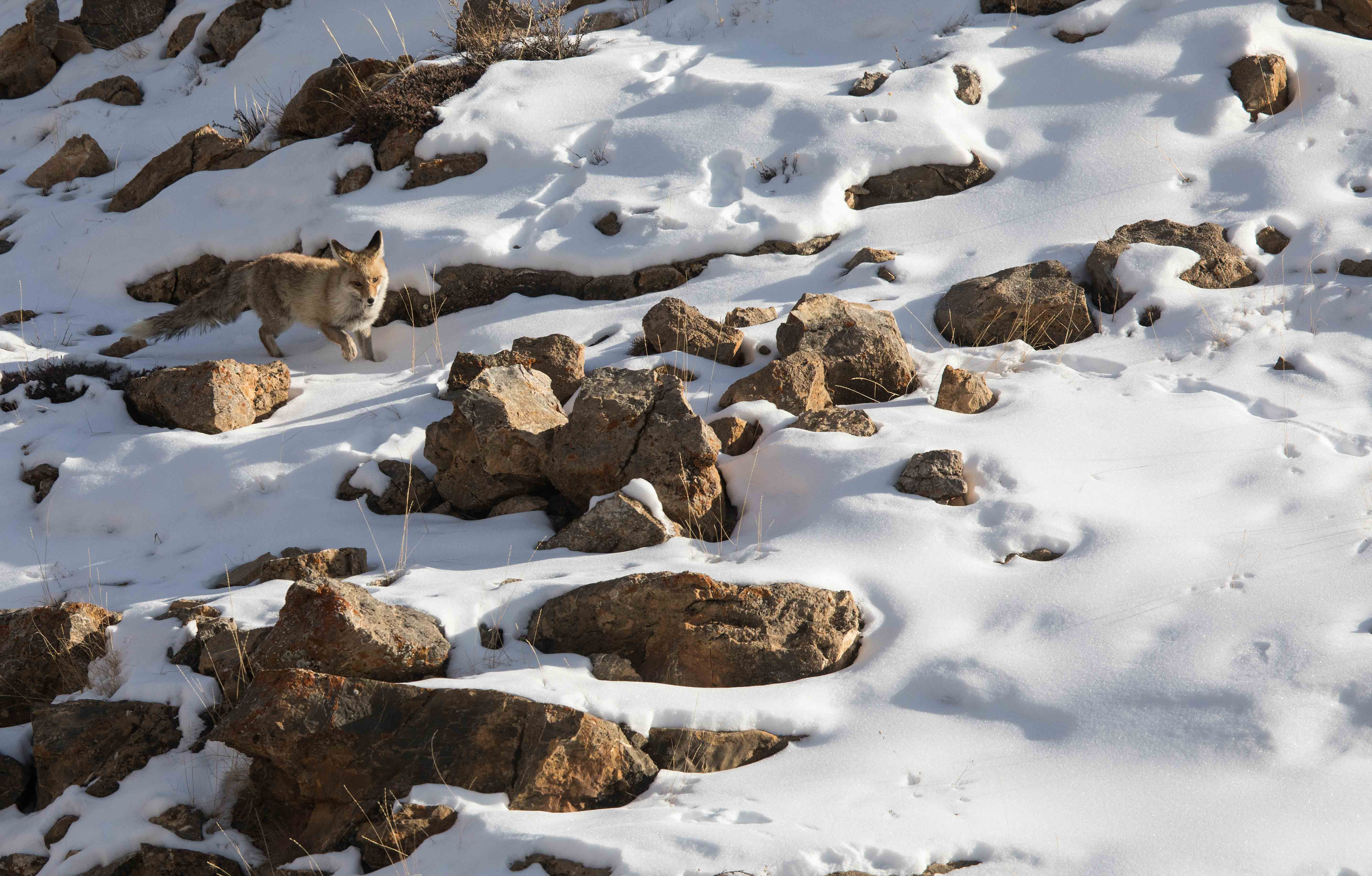 Paw prints of the red fox appear broader on soft snow, due to the manner in which the animal moves through the terrain. 