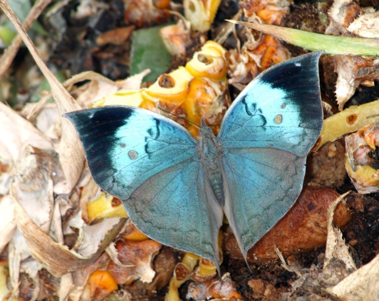 Once the blue oakleaf opens its wings it hardly seems like the same butterfly that merged with the dried leaves and brown bark of the forest. Photo: Dr. Raju Kasambe - CC BY-SA 4.0