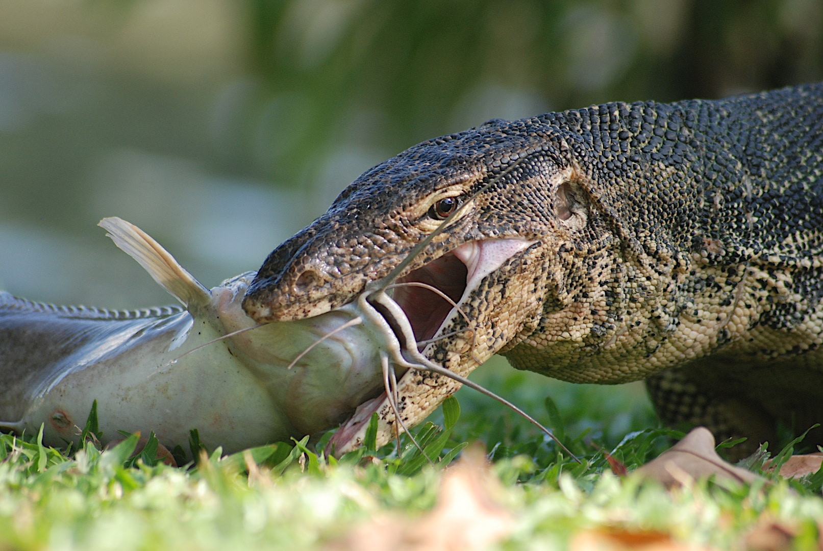 Sharp, serrated teeth allow the lizards to deal with prey that many other animals would leave alone. Photo: Gerry Martin