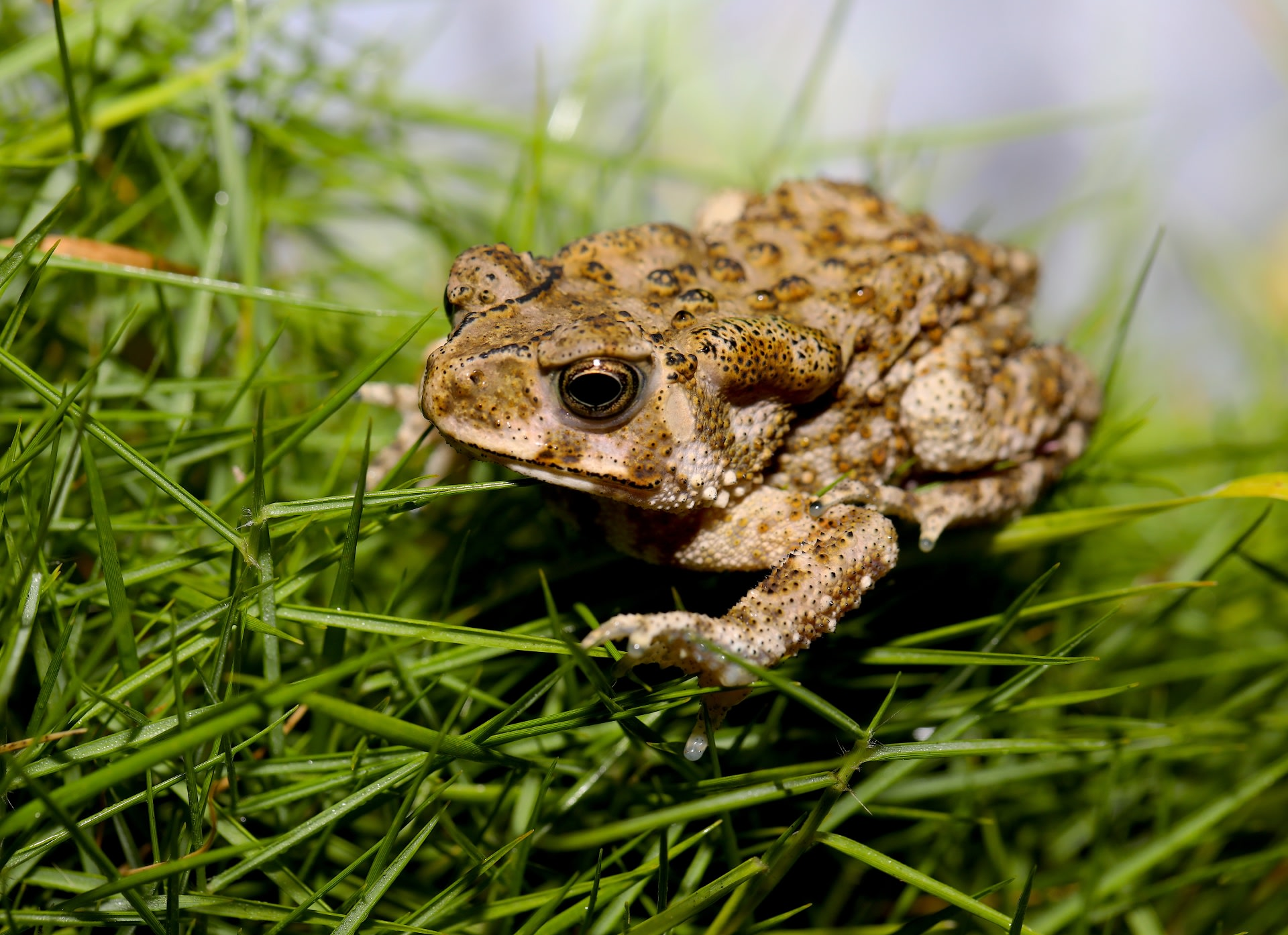 The Indian toad is highly adaptable to varied environments and is seen across diverse habitats from riverbanks, and forests to urban areas. Photo: Tamal Raha  Small green tree frogs are adept climbers with large webbed feet, and sticky toe-pads that help them scale incredible heights. Cover photo: Tamal Raha
