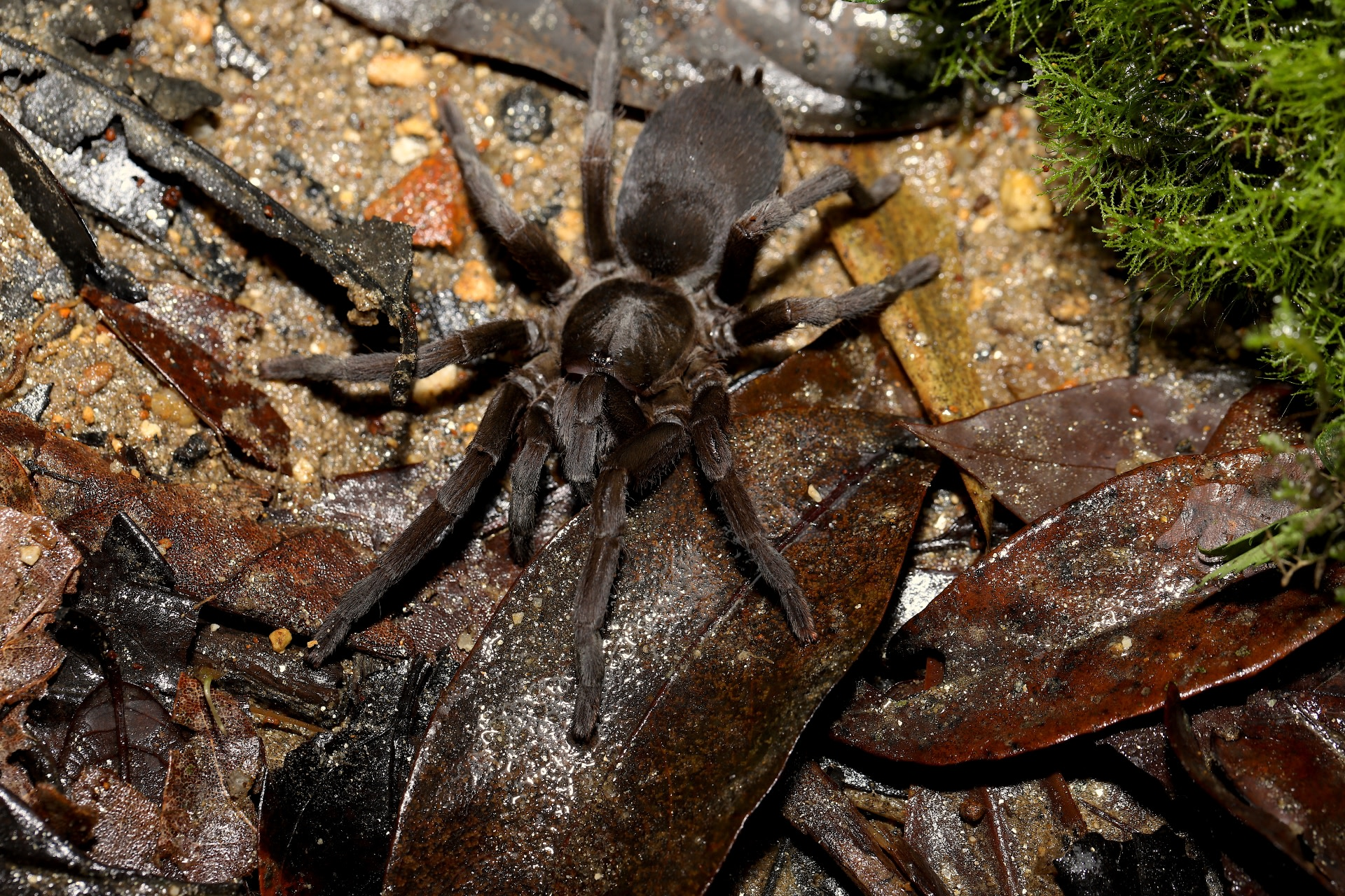 Tarantulas are large hairy spiders that have had a bad reputation for years. However, they are mostly harmless to humans, biting only when provoked, and their bites are very rarely fatal.  