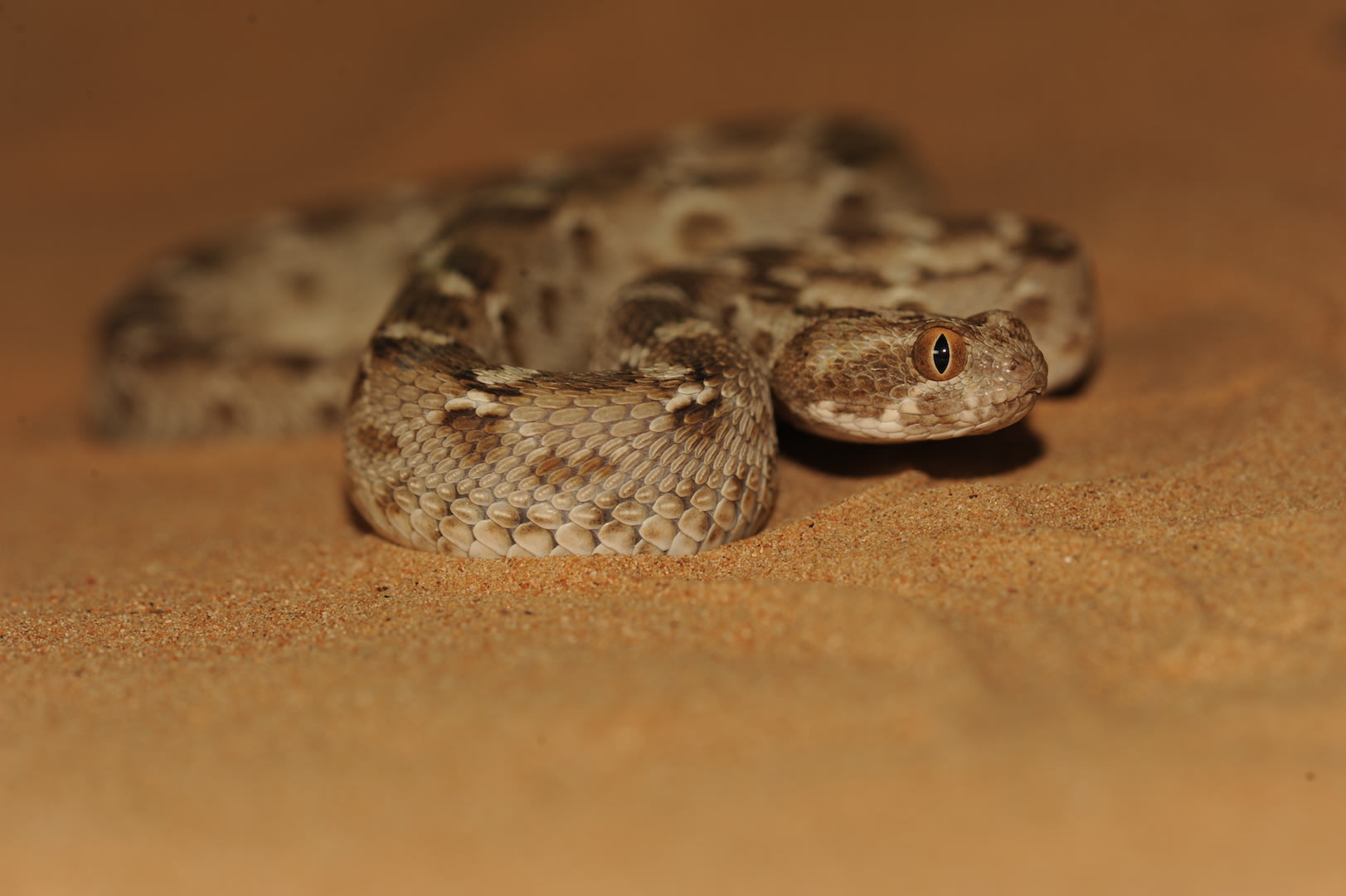 On surfaces that offer resistance such as sand dunes, the saw-scaled viper uses a sidewinding motion to locomote. Photo: Gerry Martin    Cover Photo: Gerry Martin