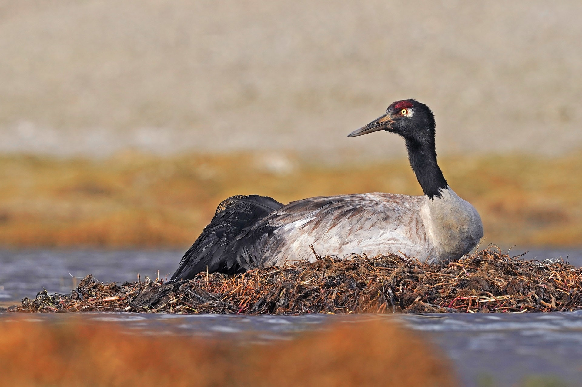 Females lay a clutch of two eggs, generally in May, when the snow has melted and the Himalayan summer is underway. Black-necked cranes incubate their eggs for 30-36 days.