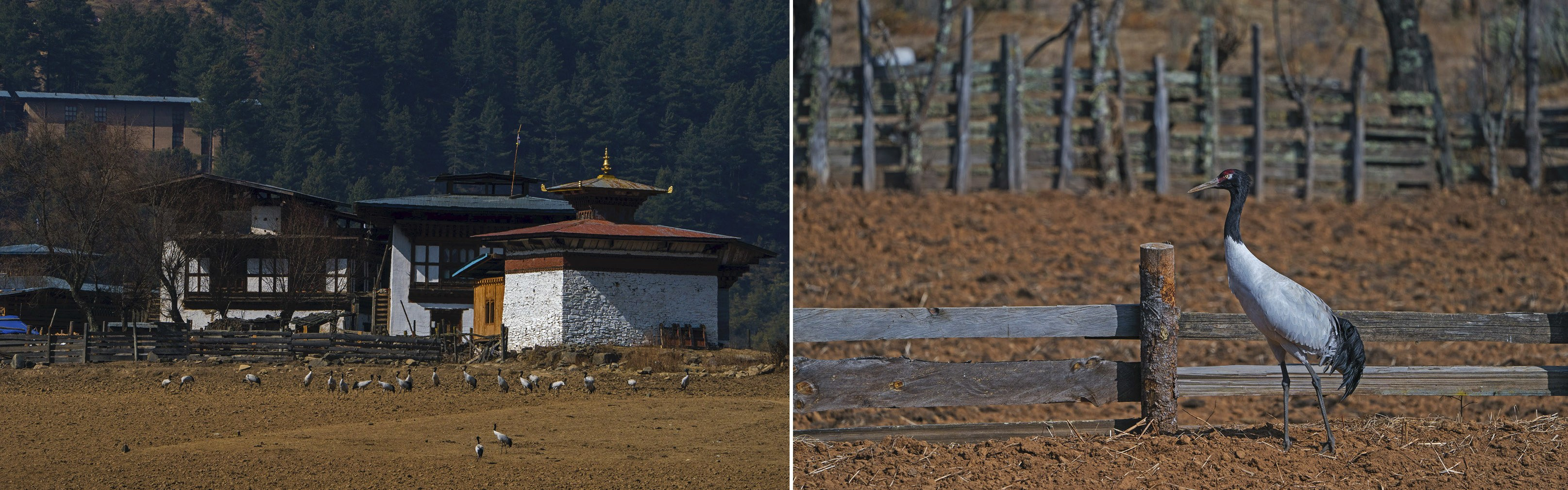 By end-October, the cranes start to arrive in the Phobjikha valley of Bhutan, where they have something of a celebrity status. One of the locations where the birds take residence is near the Gangteng Buddhist Monastery, where a black-necked crane festival is held annually on Nov 11. Legend has it that the birds circle the monastery three times upon arrival, as if practising the Buddhist act of circumambulation that is observed at holy sites.