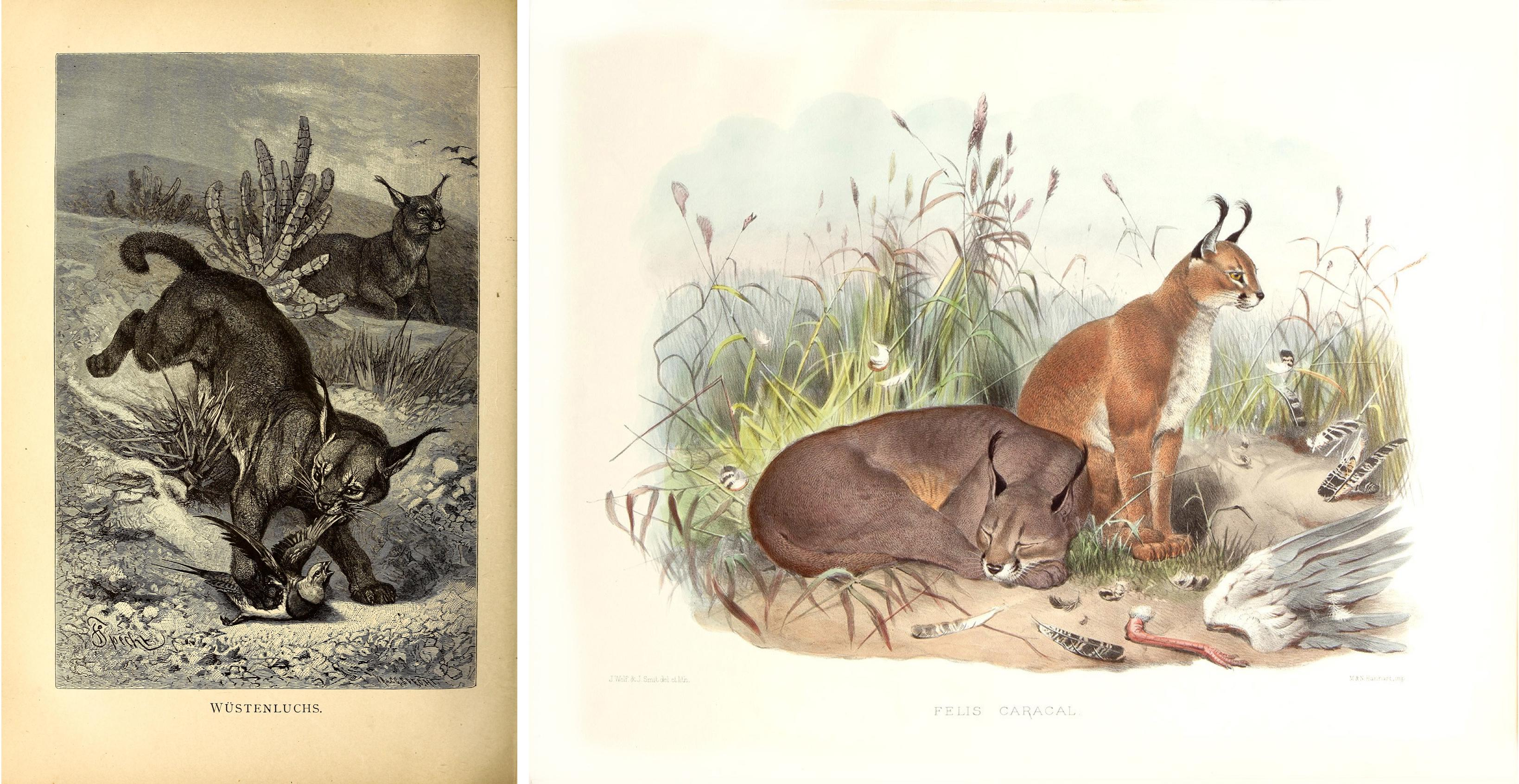 This sketch of a caracal hunting a bird (left) is from volume 1 of  Brehms Tierleben: allgemeine Kunde des Tierreichs  (1890), a German natural history multivolume series by Alfred Edmund Brehm, Eduard Pechuel-Loesche, Wilhelm Haacke, and EH Schroeder. 