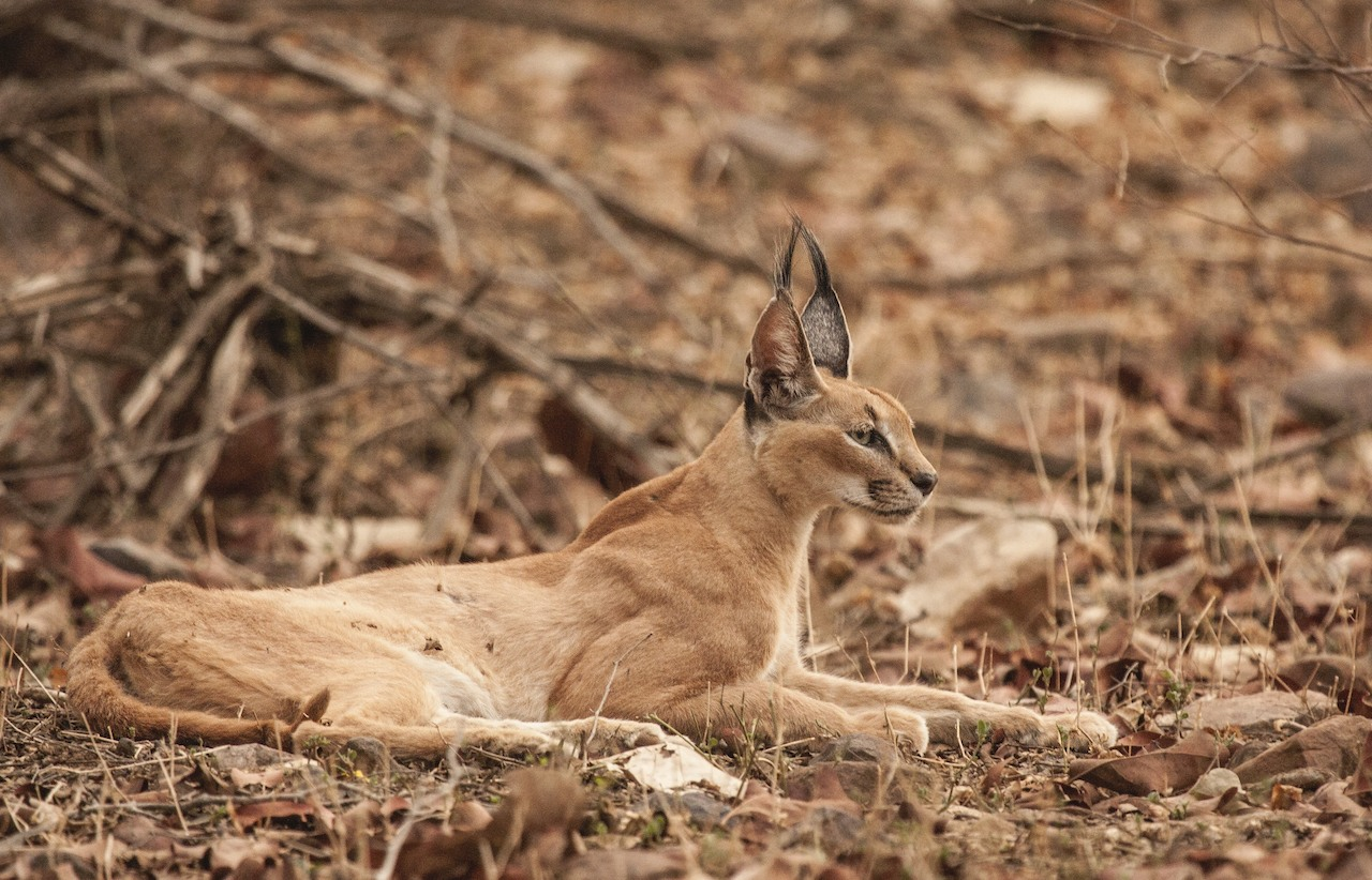 Today, the only regular photographs of caracals in India come from the larger Ranthambore landscape (where they have also been seen infrequently on camera trap images). Photo: Dharmendra Khandal