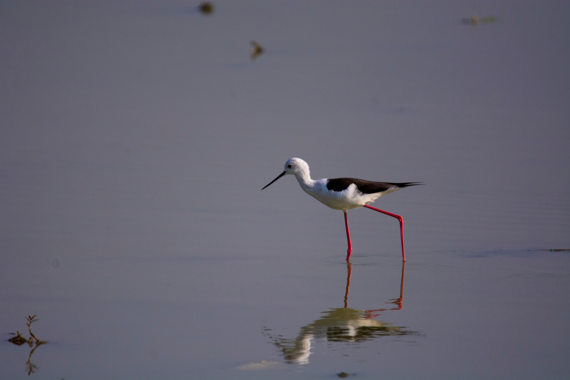 A black-winged stilt focuses on the water as it goes on its morning fishing routine. Photo: Samuel John