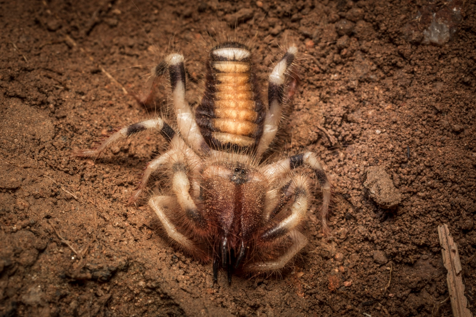 The jaws (chelicerae) of a camel spider are nearly one-third its body length. Each segment is lined with razor-sharp teeth and sense organs. Photo: Samuel John
