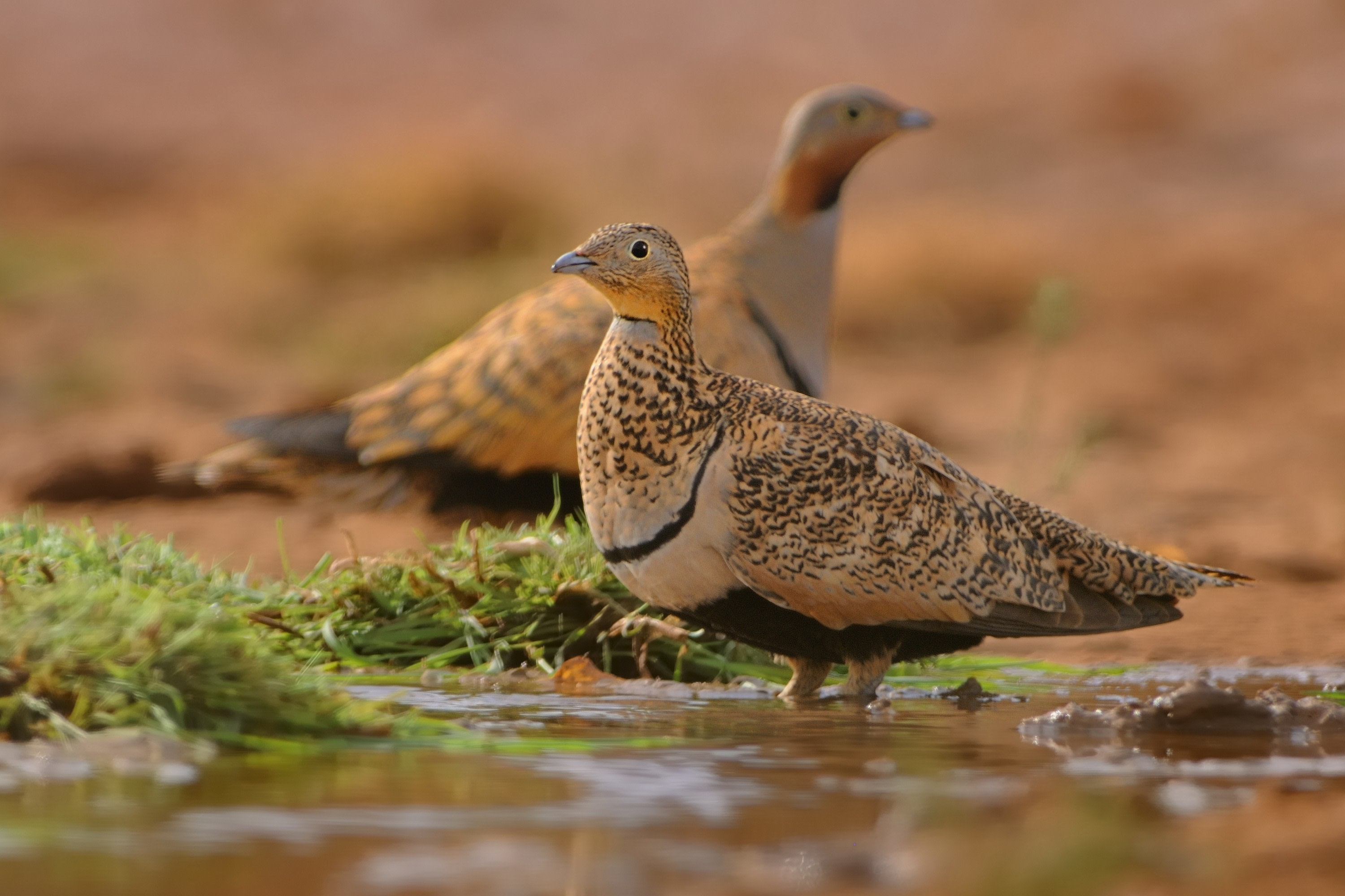 A medium-sized bird resembling a pigeon, the black-bellied sandgrouse (earlier known as the imperial sandgrouse) was much sought after by hunters during the British era. Photo: Martin Pelanek/Shutterstock