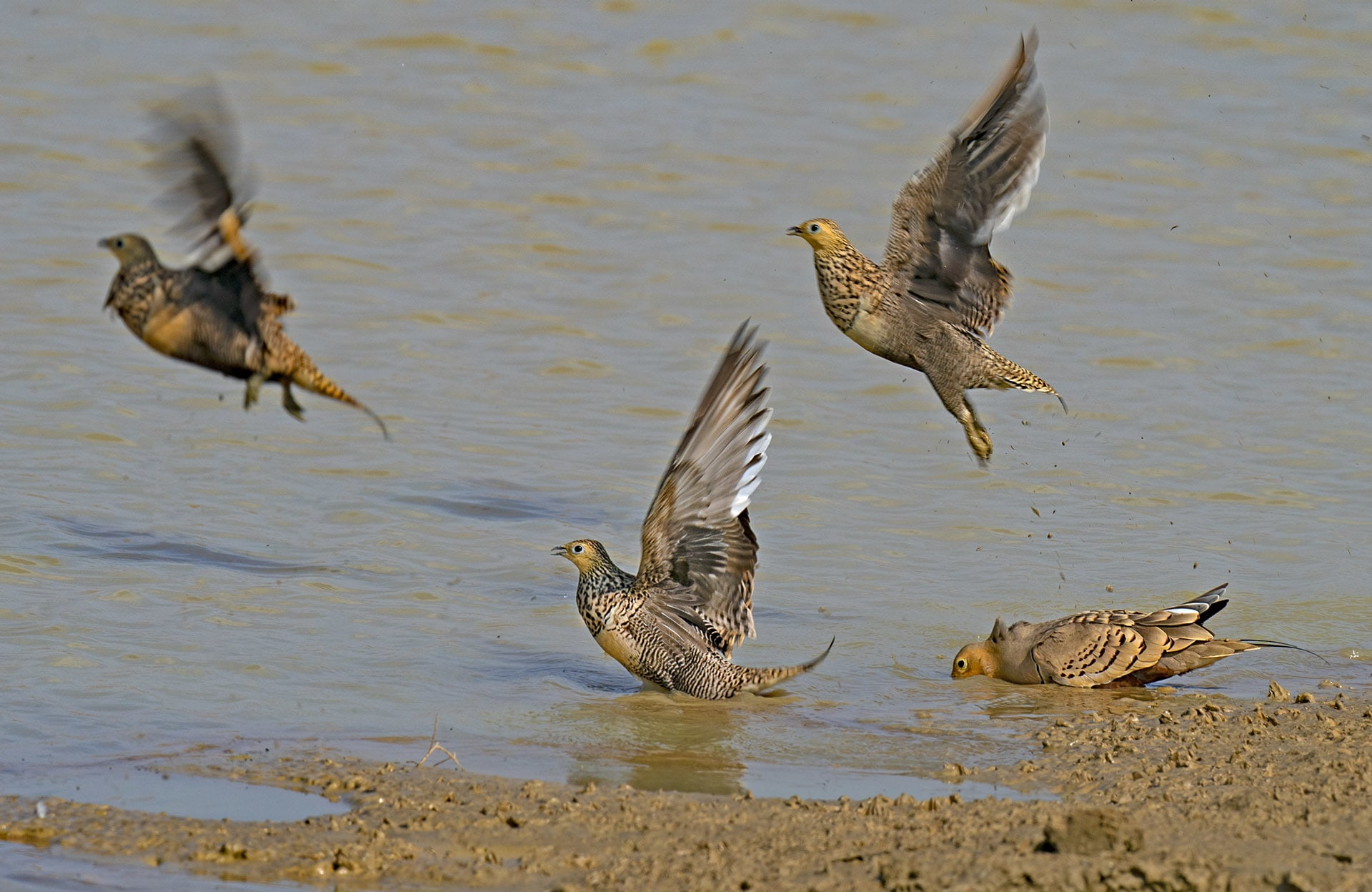 Found across India except in the Northeast, chestnut-bellied sandgrouse prefers habitats with open areas. During the dry season, large flocks can be observed around waterbodies.  Photo: Dhritiman Mukherjee
