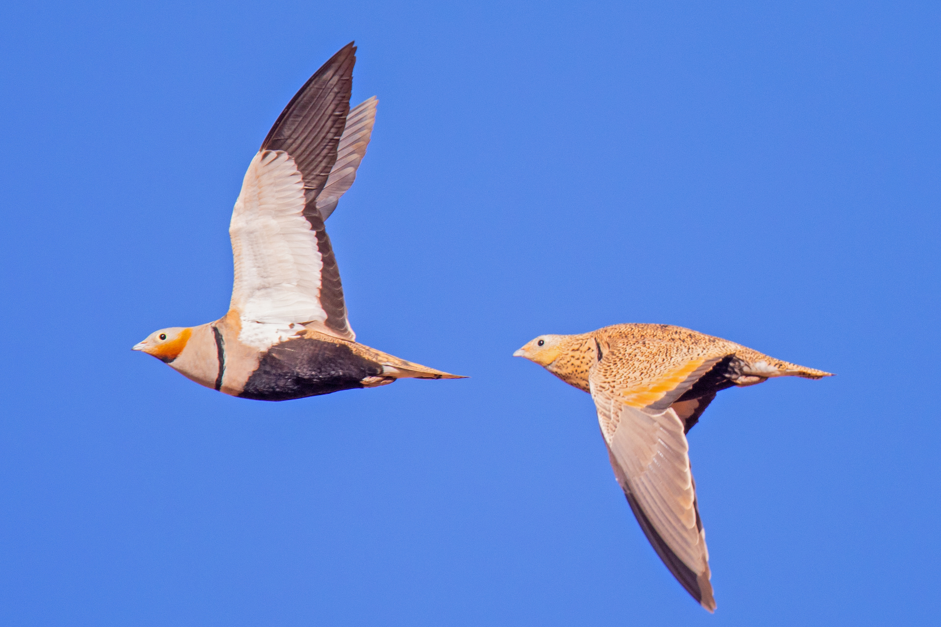 With a wingspan of around 70 cm, the black-bellied sandgrouse is a winter migrant to India. Unlike the female (right), the male (left) has a grey head and neck. Photo: Andreas Trepte - CC BY-SA 4.0