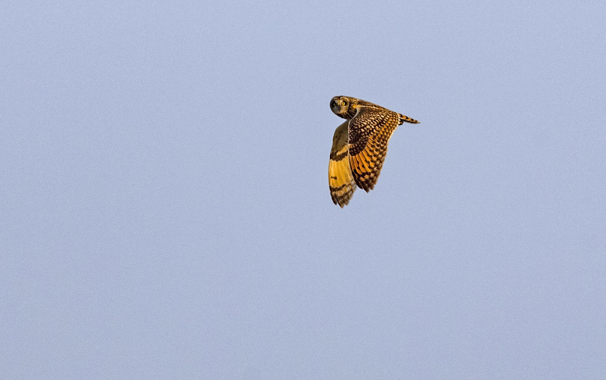A short-eared owl is a diurnal bird with a wingspan of about a metre. It usually flies close to the ground as it hunts for prey, but flies higher when migrating, or displaying its aerial skills during courtship.