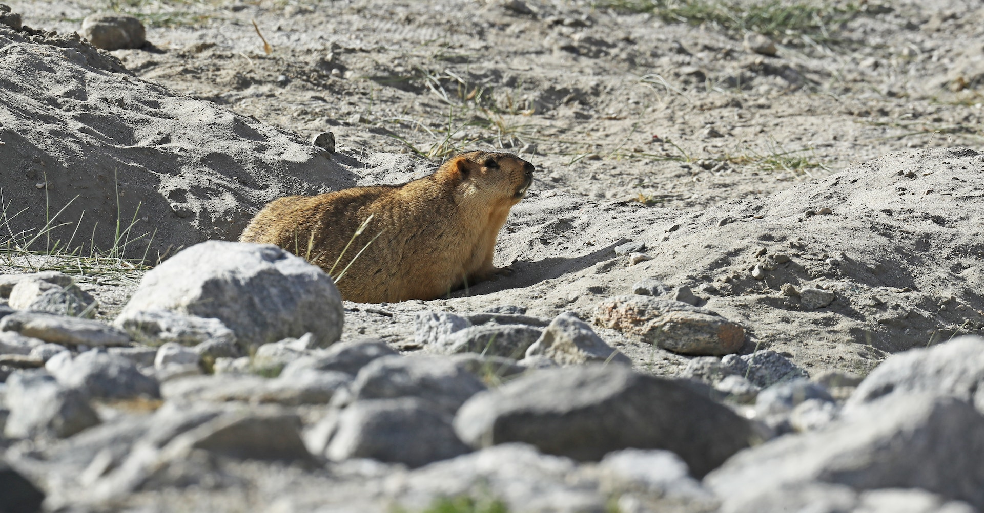 When marmots are in their comfort zone they will often rest on their bellies near their burrows. Photo: Imran Shan