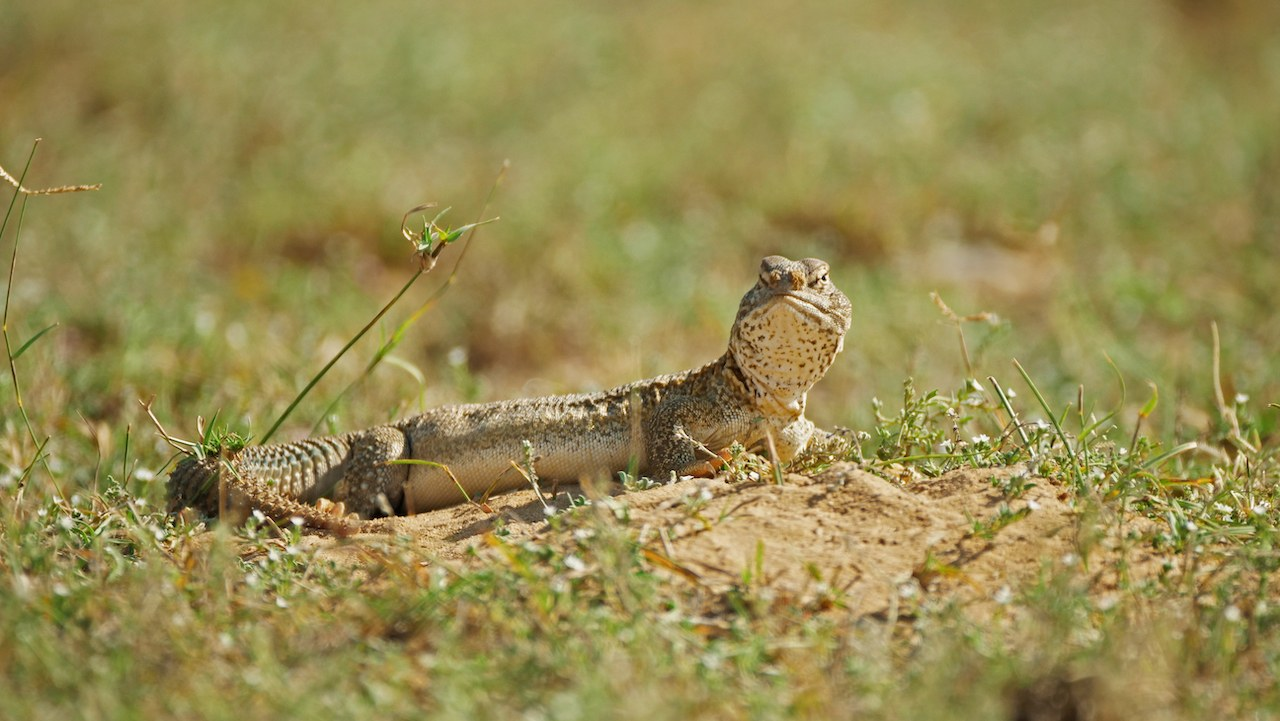 When they emerge from hibernation in the summer, spiny-tailed lizards spend most of their day feeding, followed by basking in the sun, resting, and chasing each other. Photo: Pradeep Hegde  The spiny-tailed lizards get their name from their stout tails that are covered with 'spines' or sharp, thorny extensions that they use to ward off predators. Cover photo: Soumabrata Moulick