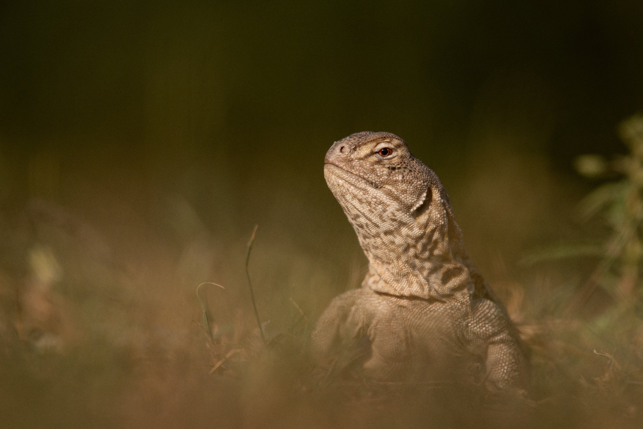 Due to extensive destruction of their habitats, mostly small fragmented, isolated populations of spiny-tailed lizards survive in patchy arid and semi-arid areas. Photo: Vipul Ramanuj