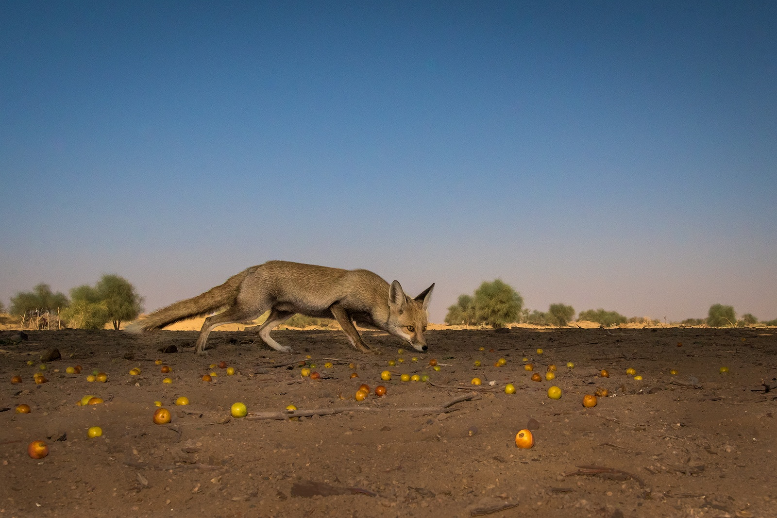 A desert fox, an omnivore, inspects the land in search of food. It survives on desert insects and lizards along with berries and plant matter. The sandy-yellow colour of the desert fox's coat helps it blend beautifully into the desert landscape. Photo: Soumabrata Moulick