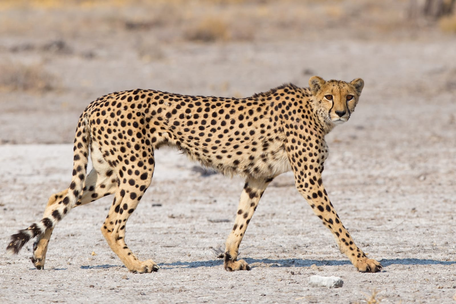 The cheetah is built for speed. It has long, thin legs, a flattened rib-cage and small head that provides the least resistance when it cuts through air. Photo: Sue Berry/Shutterstock