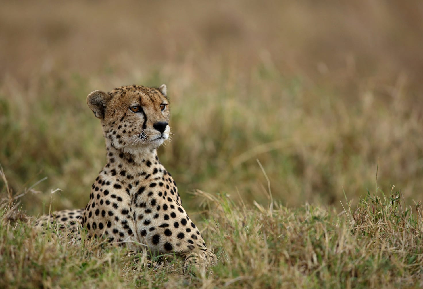 The cheetah population across the world is in grave danger, thanks to shrinking grasslands. Over the last century, cheetahs have gone locally extinct in at least 21 countries, and their numbers continue to fall. Photo: Dr Ajay Kumar Singh/Shutterstock