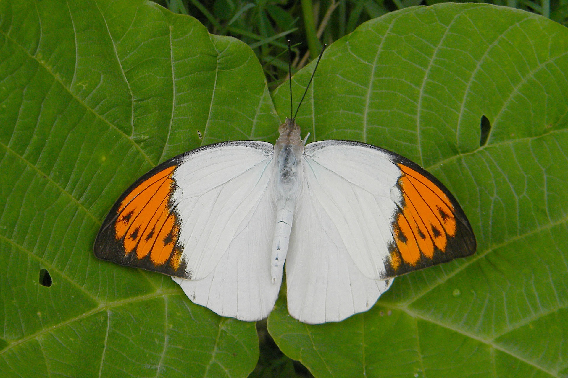The great orange tip belongs to a family of butterflies called Pieridae. Most butterflies within this subgroup are a combination of yellow, white and/ or orange in colour. Photo: Subhajit Mazumder-CC BY-SA 4.0  The great orange tip has striking, bright forewings, but its undersides are dull, and look like a dry leaf. When it perches on the ground with its wings closed, it often looks like dead leaf. This protects it from predators. Photo: Sathya K Selvam-CC BY-SA 4.0