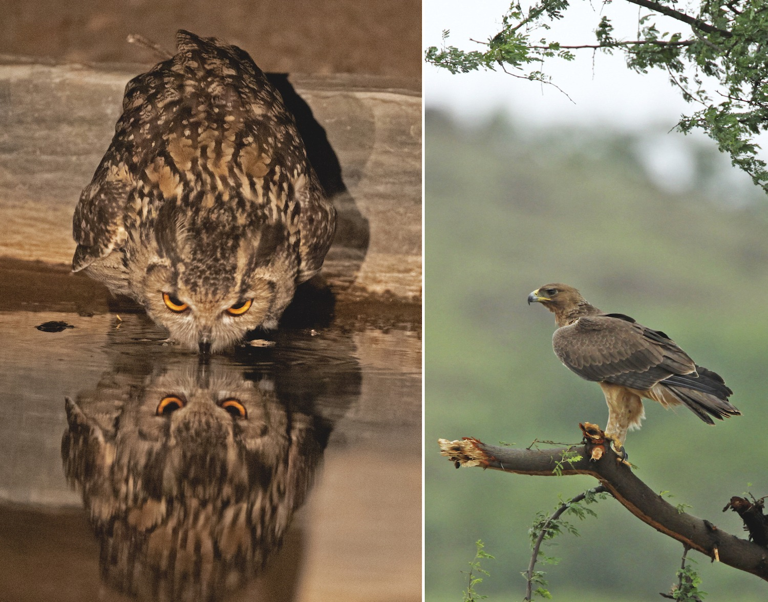 Among the fiercer of Saswad's inhabitants is the great horned owl (left) and Bonelli's eagle (right), both members of the raptor family that rely of hunting for nutrition.
