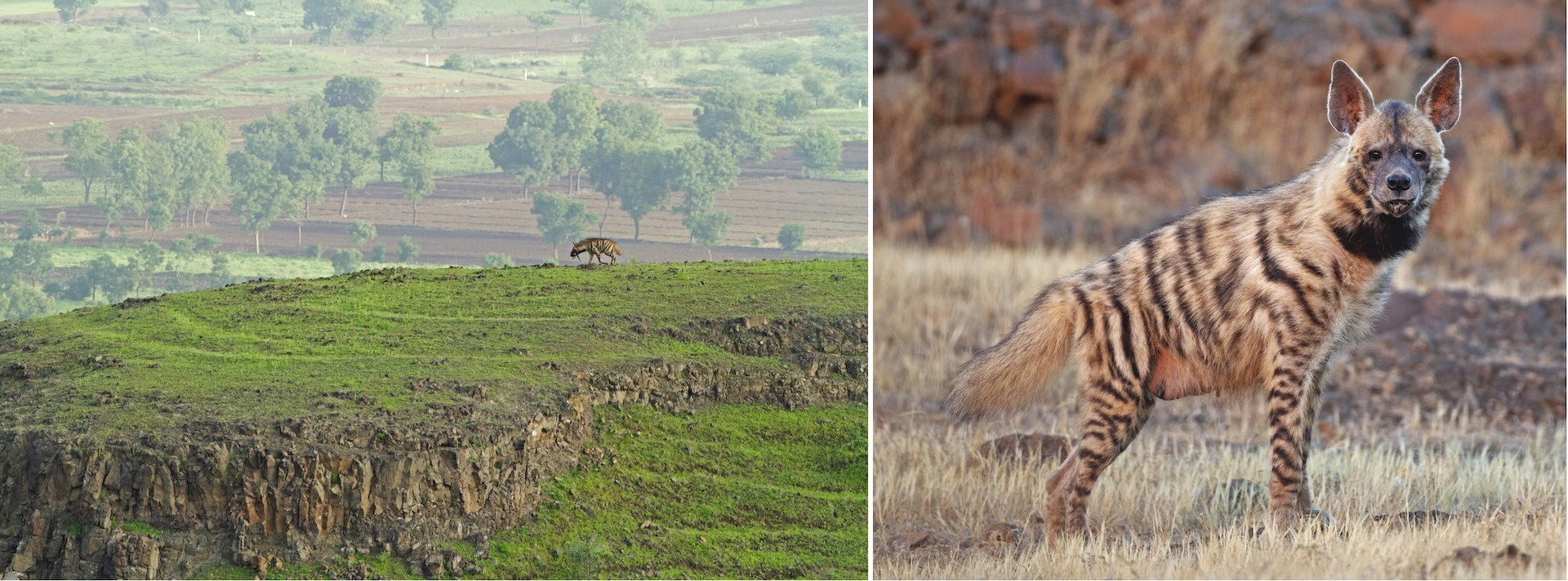 India has just one hyena species: the striped hyena (Hyaena hyaena). Although hyenas have a bad reputation, these nocturnal predators are a crucial part of the ecosystem. In addition to hunting, they scavenge on carrion, which also prevents the spread of disease from rotting meat.
