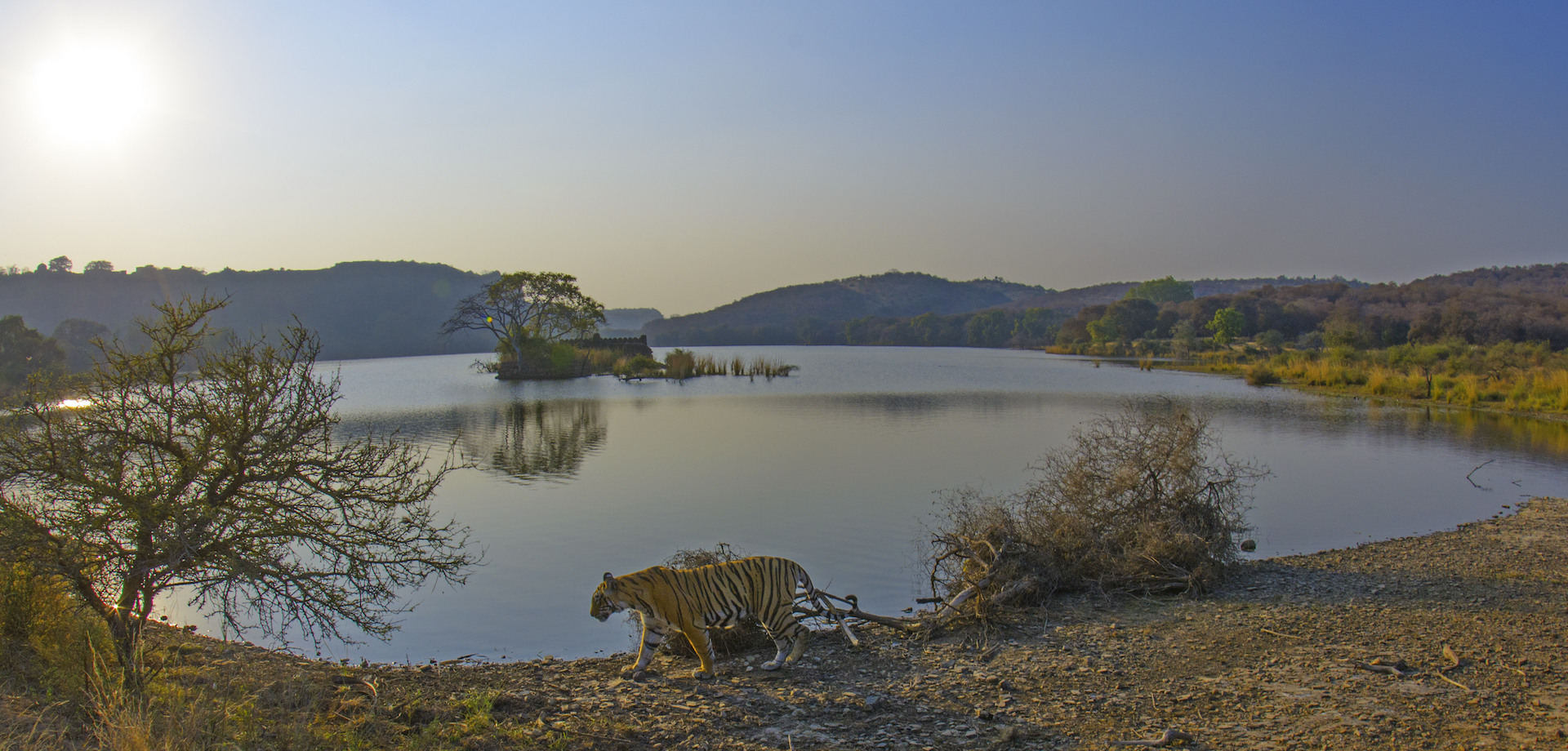 Few lucky ones get to witness this classic Ranthambore scene: A tiger walking across the banks of Padam Talao with the forest and the park's iconic heritage structures in the background. Photo: Dhritiman Mukherjee