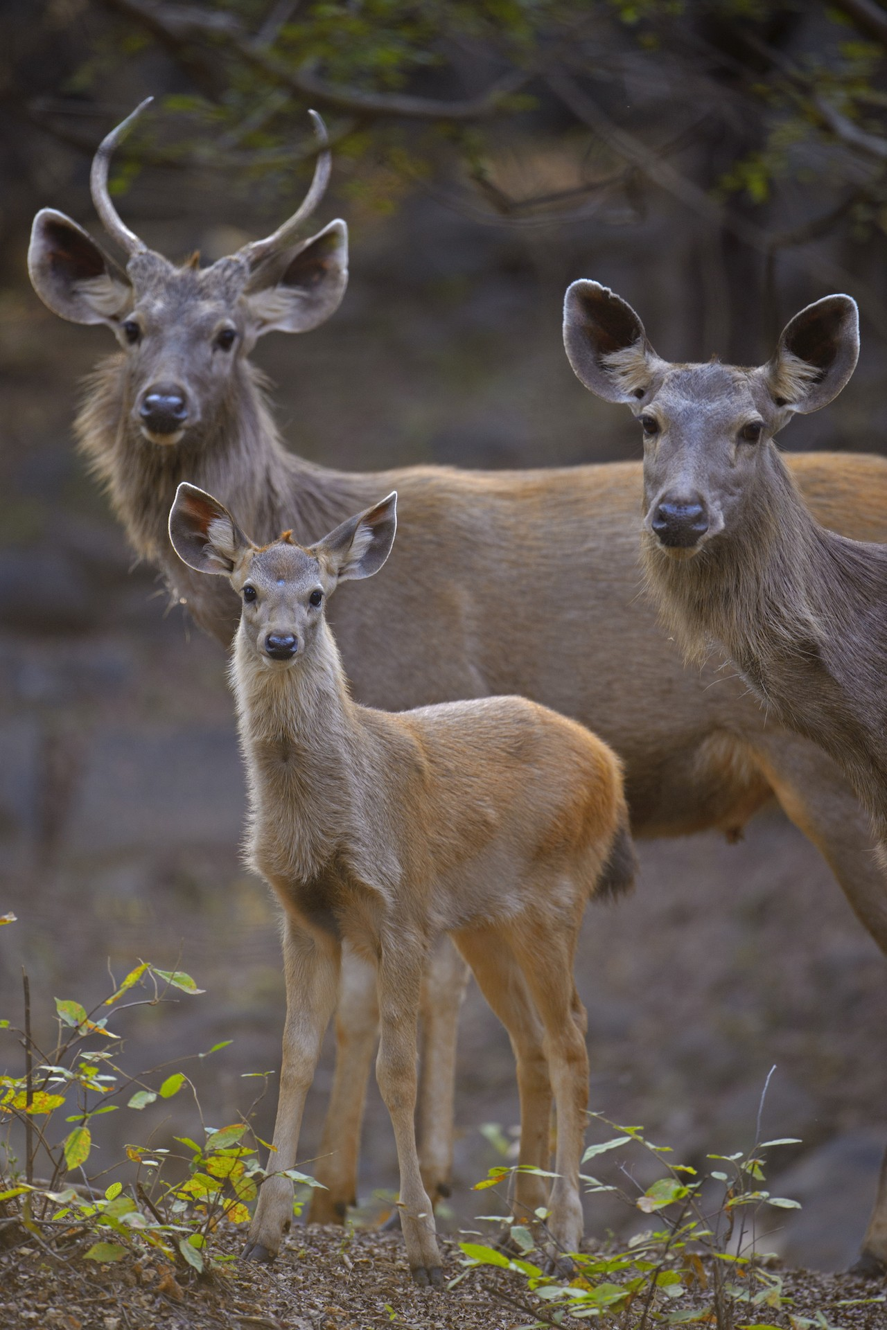 South Asia's largest deer species, the sambar deer are the tiger's favourite prey, constituting an ideal sized meal for the big cat. Not nearly as gregarious as the spotted deer, sambar deer are often seen in smaller herds or family groups.  Photo: Dhritiman Mukherjee