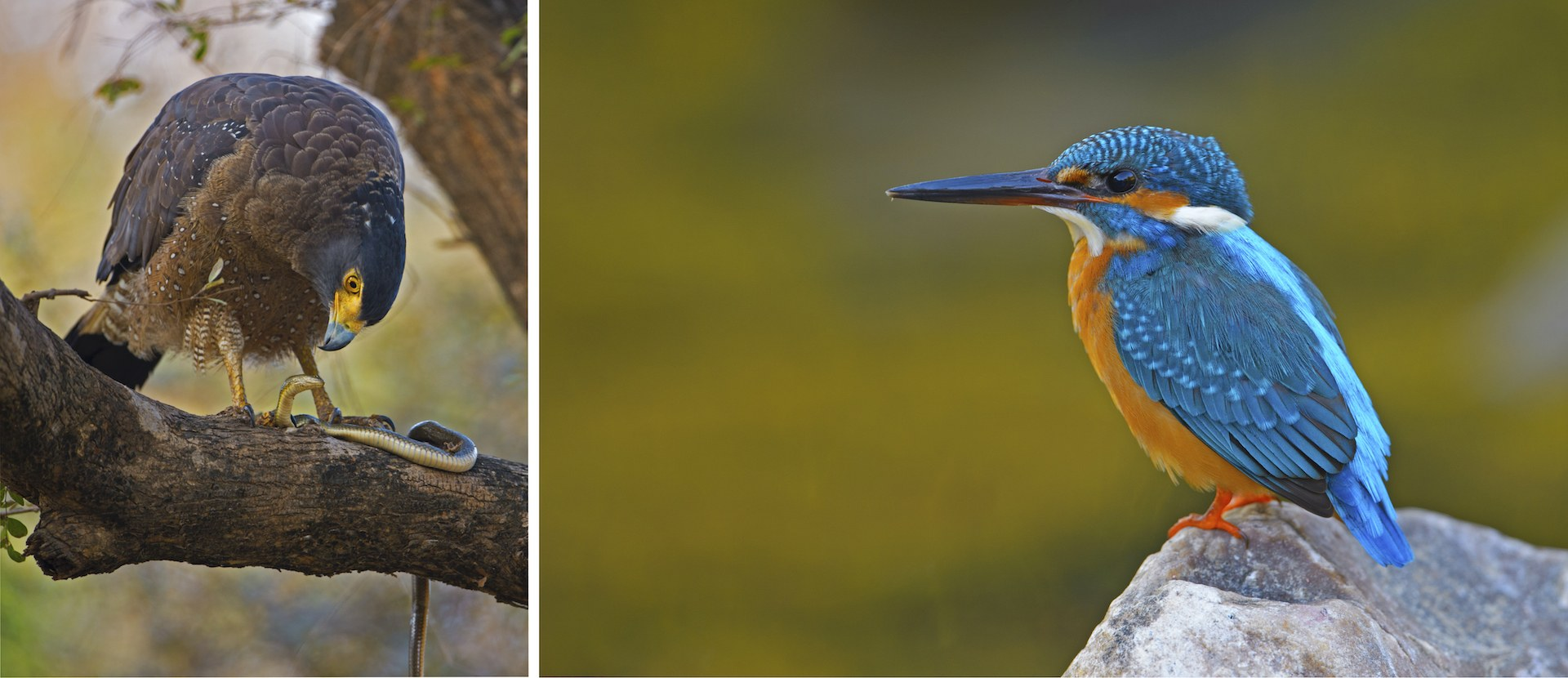 Ranthambore offers glimpses of many winged wonders. While its name suggests a hunter of snakes, the crested serpent eagle (left) is an adept hunter of other smaller life forms as well, including a variety of small reptiles, amphibians, and mammals. The common kingfisher (right), named for its wide distribution range, not because it is common to see, is seen mostly around water, jetting off, hovering, and diving for aquatic prey of fish and small invertebrates. Photo: Dhritiman Mukherjee