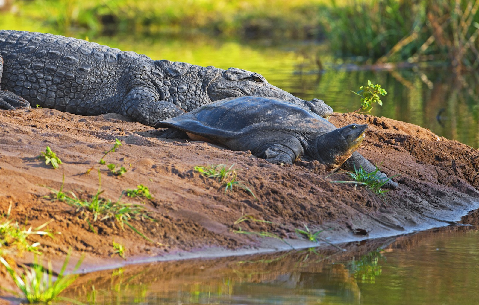 Once the sun is out, especially in winter, Ranthambore's shy reptiles, such as this mugger crocodile and Indian flapshell turtle, may put in an appearance in the open to bask in the sunshine. The rise in temperatures helps them regulate their body temperatures. Photo: Dhritiman Mukherjee
