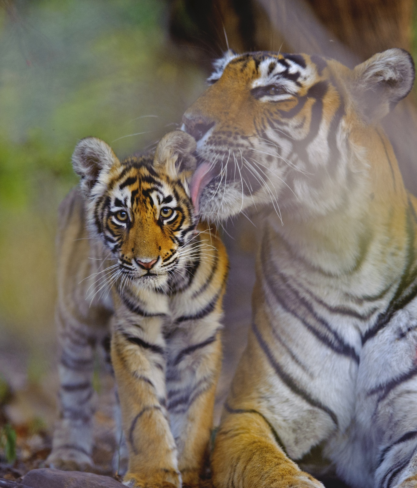 Tigers are solitary animals, but tiger mothers care, protect, look after and feed their cubs until they are nearly two. Observations in Ranthambore over the years have contributed significantly to our understanding of the tiger's social structures and behaviour. Photo: Dhritiman Mukherjee