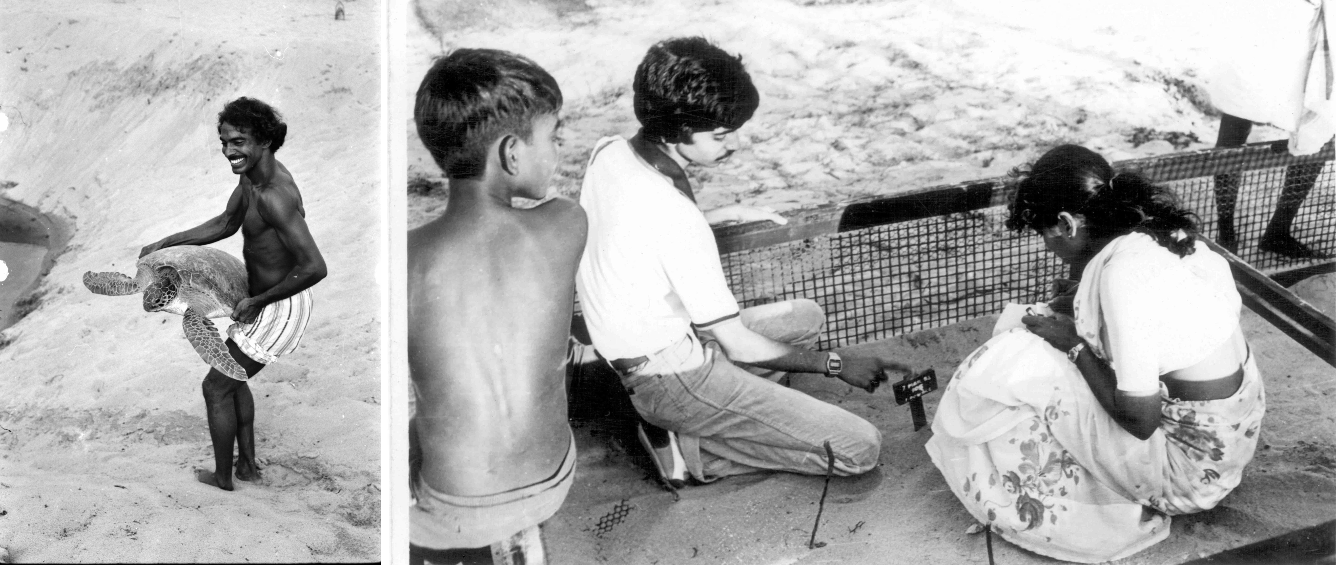 Satish Bhaskar with a juvenile green turtle at the Madras Crocodile Bank (left); Shekar Dattatri (filmmaker) and Ann Ahimaz, a pioneer of the turtle walks in Chennai, check on a nest in the hatchery in the 1970s (right). Photos: Rom Whitaker (left) and Preston Ahimaz (right)  Olive ridley hatchlings return to the sea. Photo: Dhritiman Mukherjee