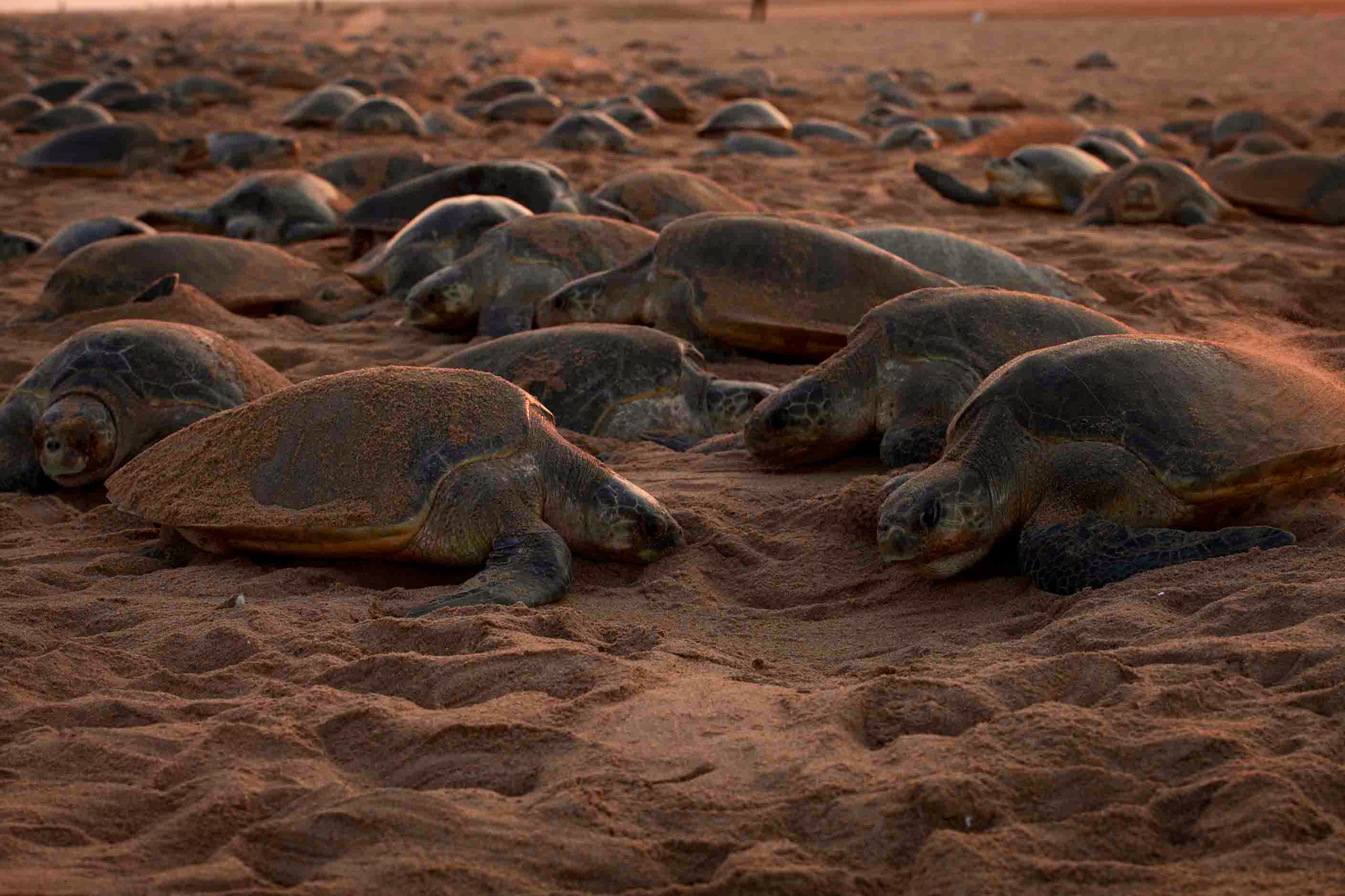 Olive ridley turtles at Rushikulya, Odisha, during the mass nesting phenomenon known as arribada. Photo: Kartik Shanker