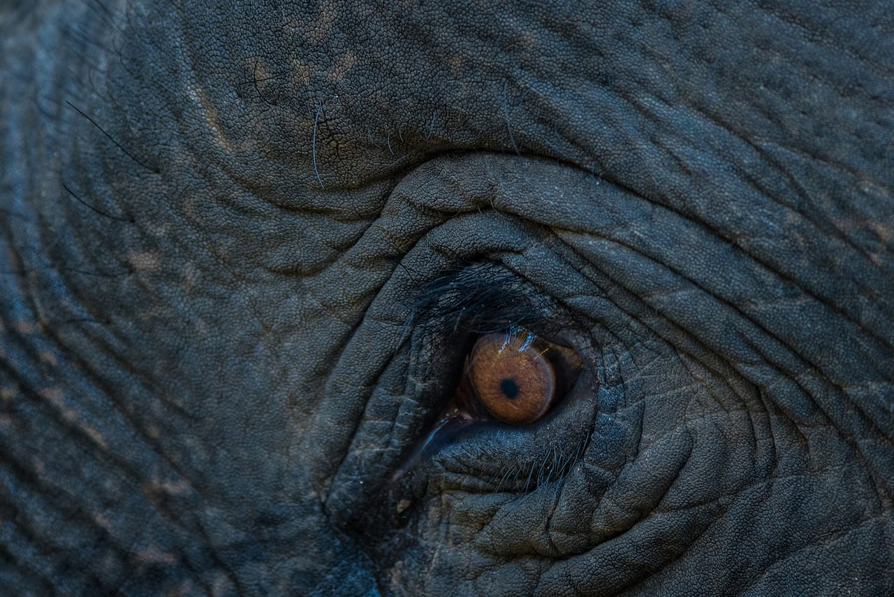 An elephant's eyesight may not be the best, but its hearing and olfactory senses more than make up for its poor sense of vision. Photo: Sourabh Bharti/Shutterstock