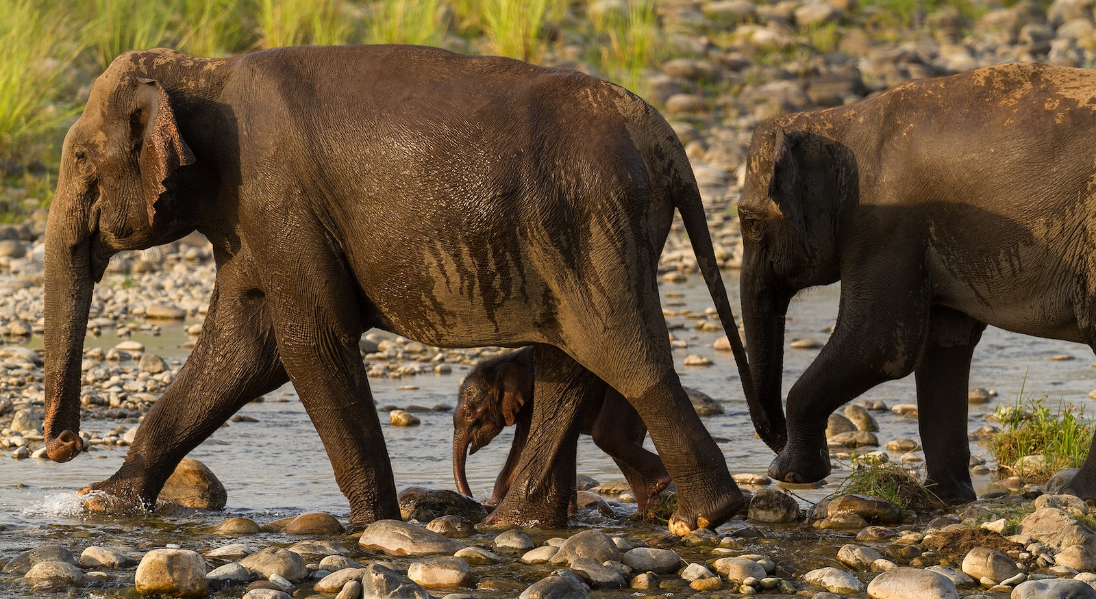 Elephants are led by the oldest and largest female in the herd known as the matriarch. Females in the herd always watch over calves. Photo: Arindam Bhattacharya
