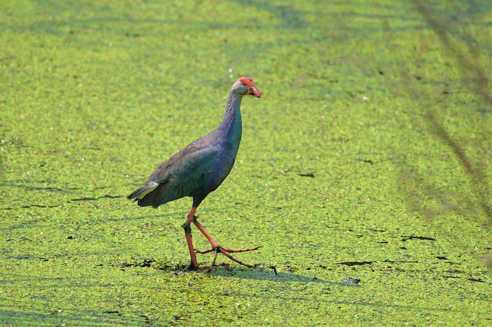 A purple swamphen at the Pallikaranai marshland (top). Photo: Arvind Balaraman/Shutterstock