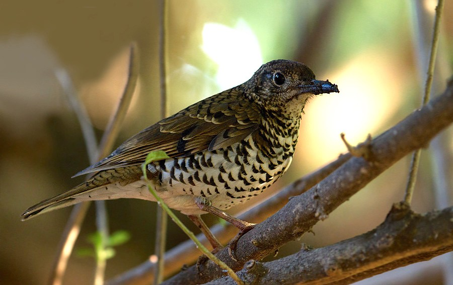 The Nilgiri thrush is restricted in its range to the Indian subcontinent. Its long-term trend could not be determined because of a paucity of data, though it has declined by 15 per cent in the short term. Photo: Prashanth Poojary CC BY 3.0