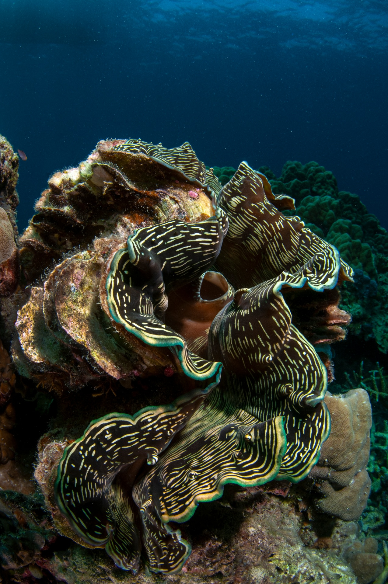 Giant clams can be so large that they become mini-ecosystems themselves, providing space for critters on its shell or between its folds. Photo: Umeed Mistry