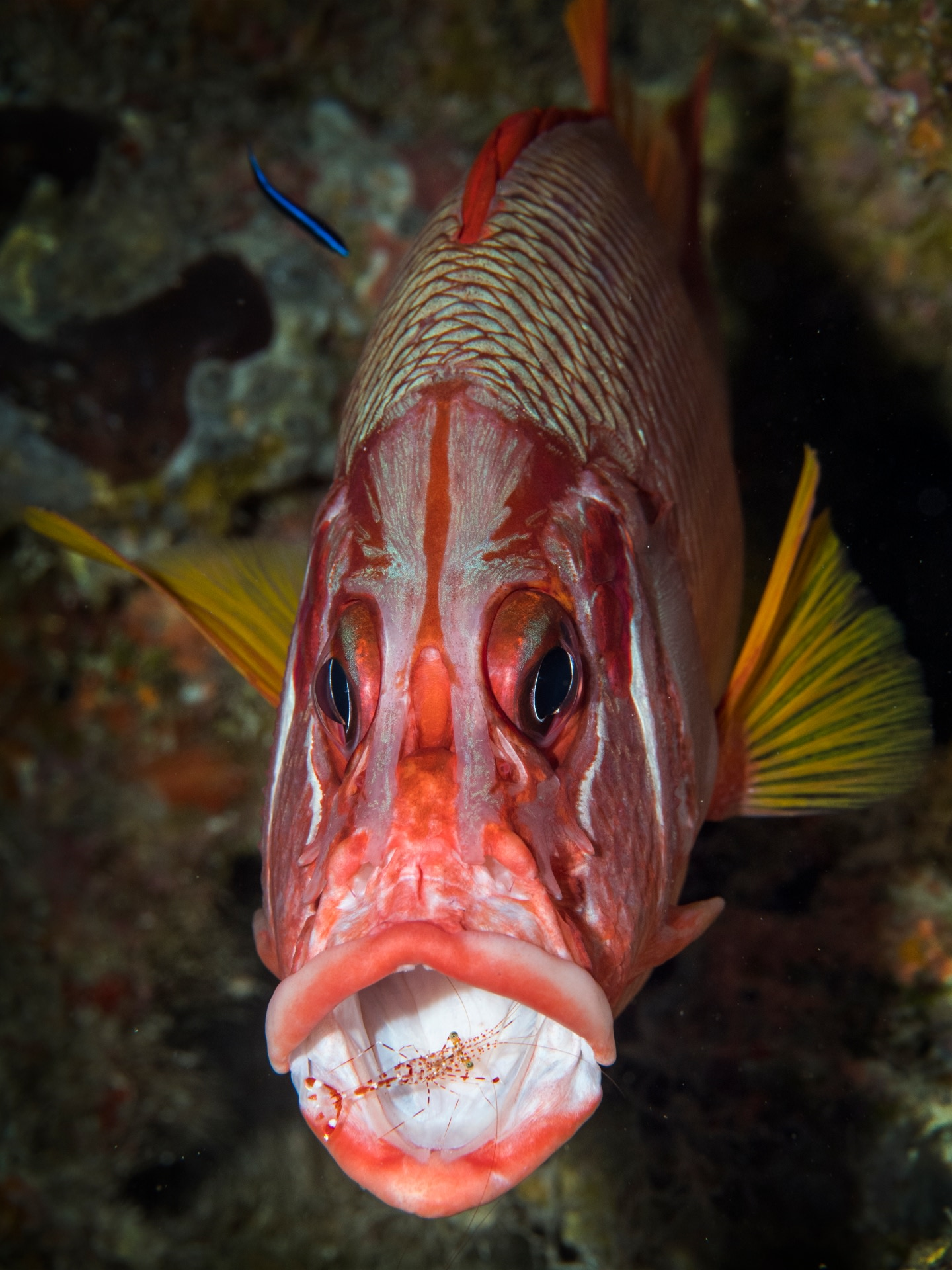 A sabre squirrelfish getting a wholesome cleaning, as a cleaner shrimp works in its mouth and a cleaner wrasse tends to its scales.