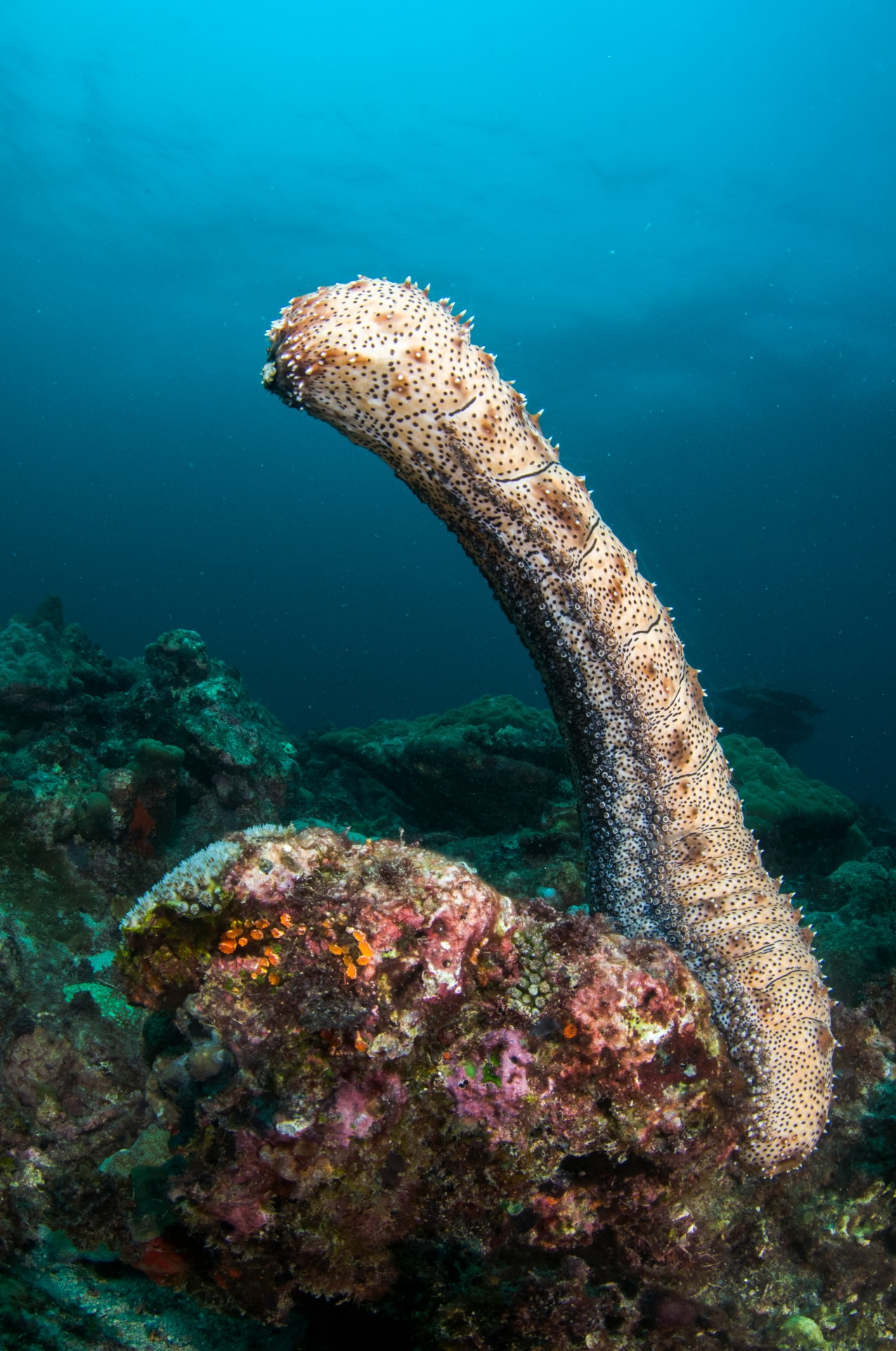 A marbled sea cucumber standing erect is signalling to others of its kind in the vicinity that it is ready to spawn. Photo: Umeed Mistry