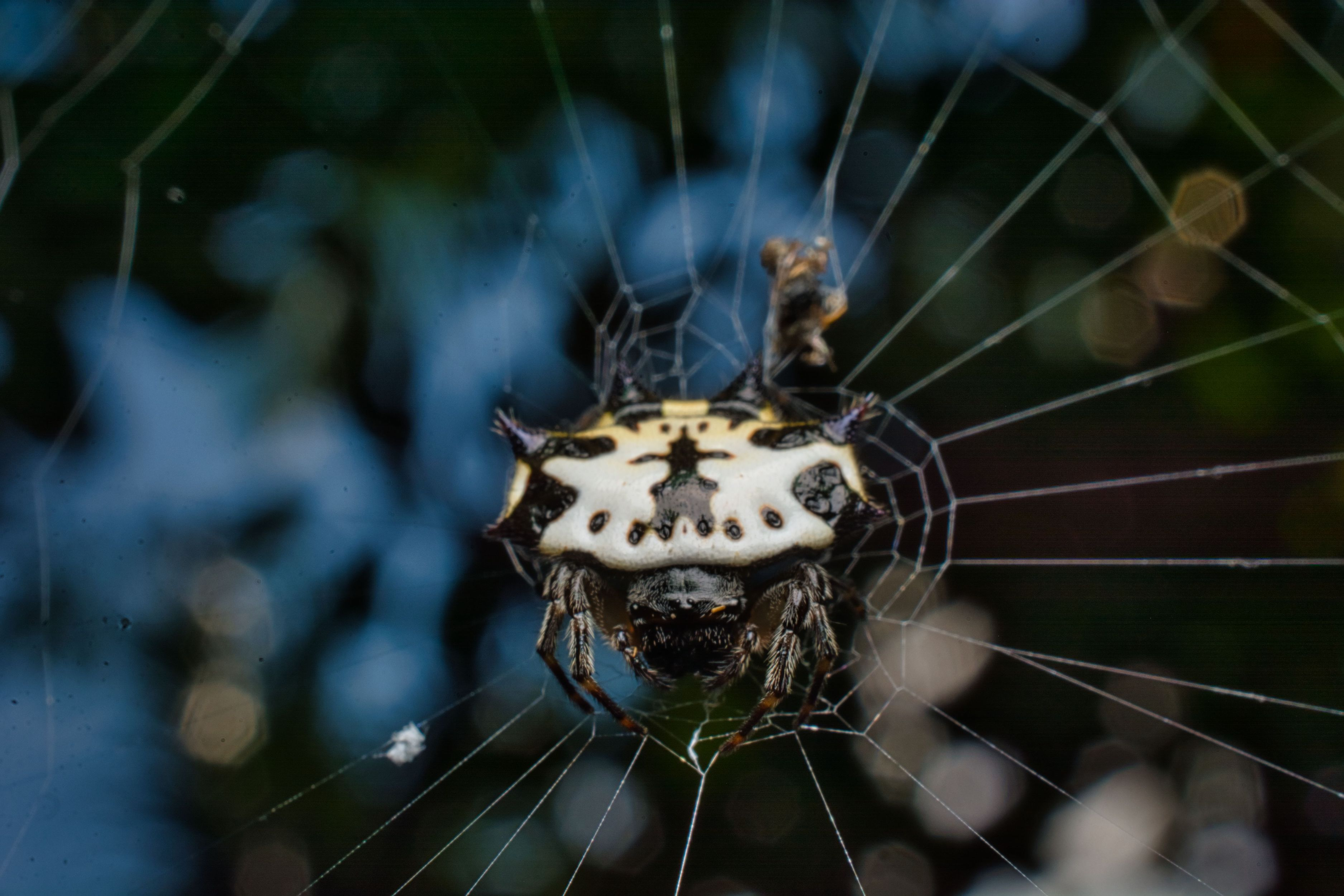 Gasteracantha is a genus of orb-weaver which can be easily distinguished by its signature abdominal spikes. This one is seen resting after a satisfying afternoon meal. Photo: Samuel John