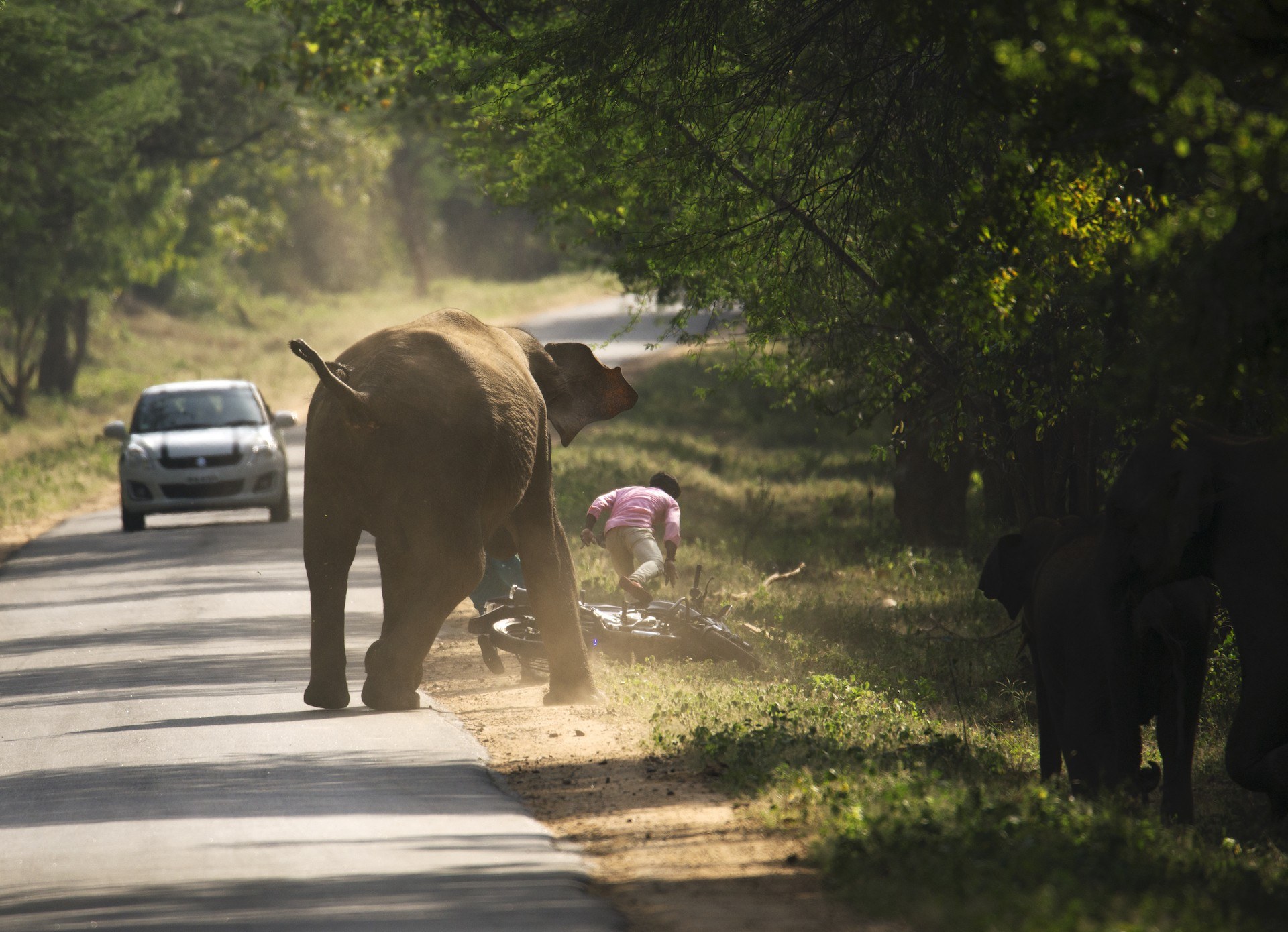 An elephant charges at a motorcycle rider on a highway passing through a protected area. Such instances are often a result of motorists getting too close to them for comfort. Photo: Aneesh S  Feeding wild elephants habituates them to contact with people and leads to them losing their fear of humans. This loss of fear could lead to problems and conflict situations. Cover Photo: Sreedhar Vijayakrishnan