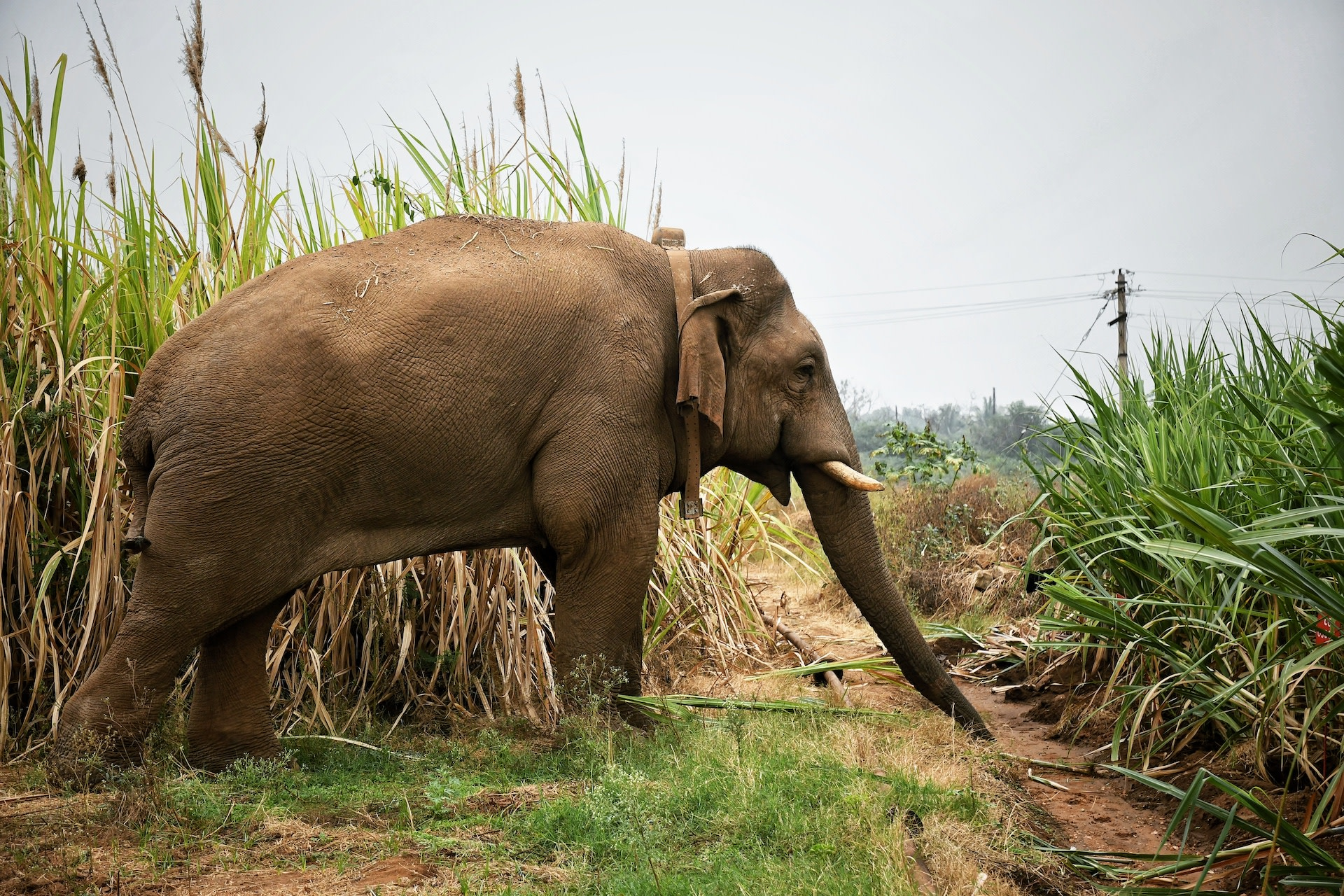 From the outskirts of Coimbatore, tusker Chinna Thambi was collared and translocated to the Anaimalais, but he had to be recaptured after he continued to frequent human habitations. In this photograph he is feeding in a sugarcane field. Photo: Sreedhar Vijayakrishnan