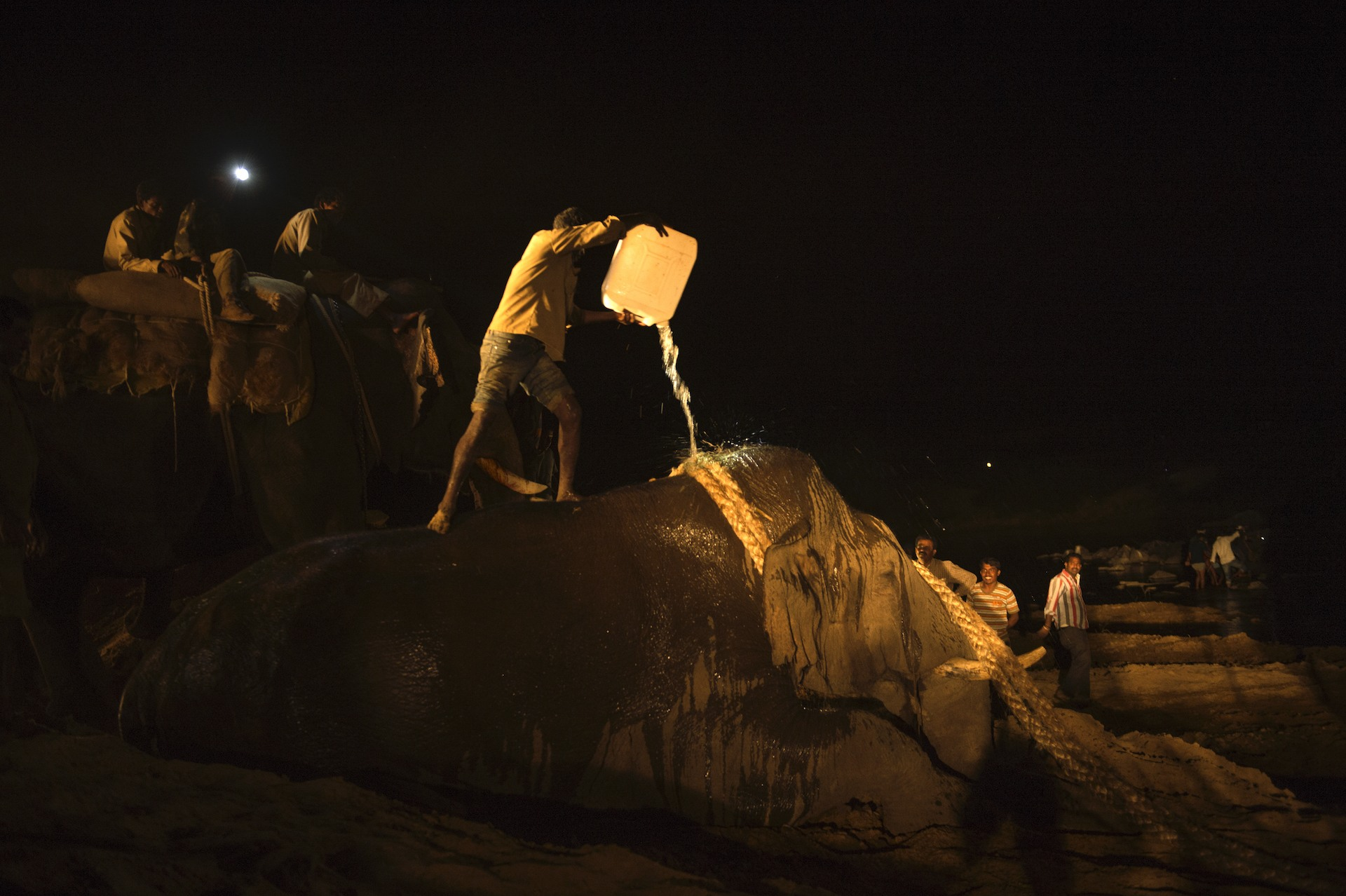 A newly captured, exhausted bull elephant being cooled off and dragged from a capture site to be loaded onto a      truck, near Hassan in Karnataka. Photo: Kalyan Varma