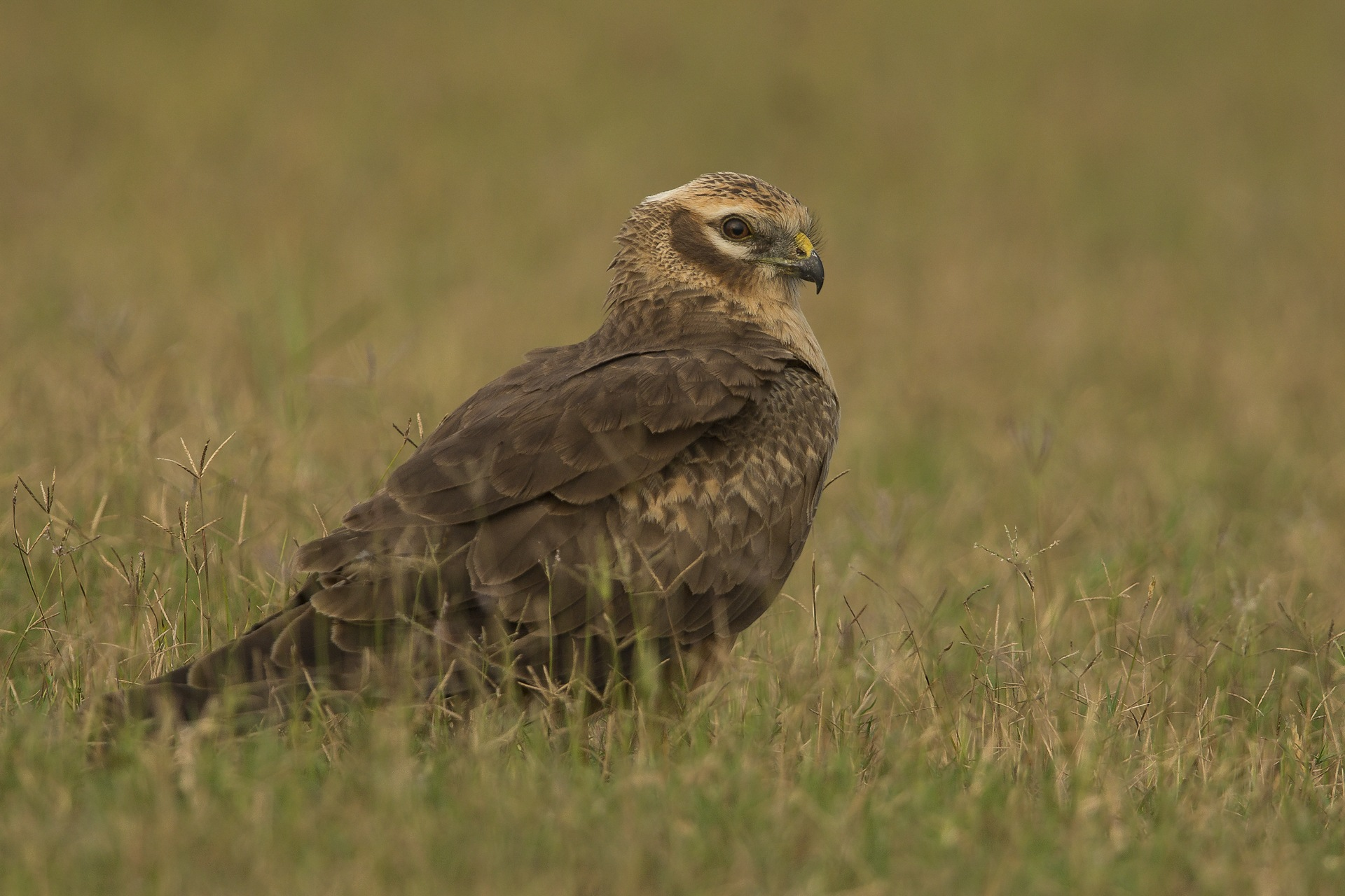 The adult female Montagu's harrier has brown upper parts and brown streaks on its underside. They are very similar in appearance to the pallid and hen harriers. Photo: Sambath Subbaiah
