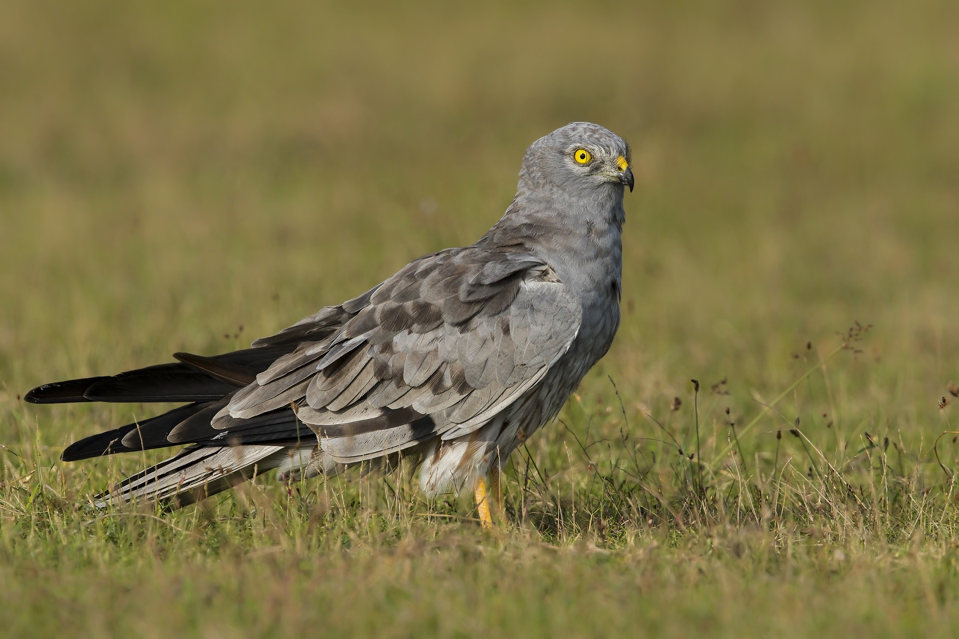 The adult male sports a stunning grey plumage with black-edged wings. It has brown streaks on its underside which helps to differentiate it from the male pallid harrier. Photo: Sambath Subbaiah