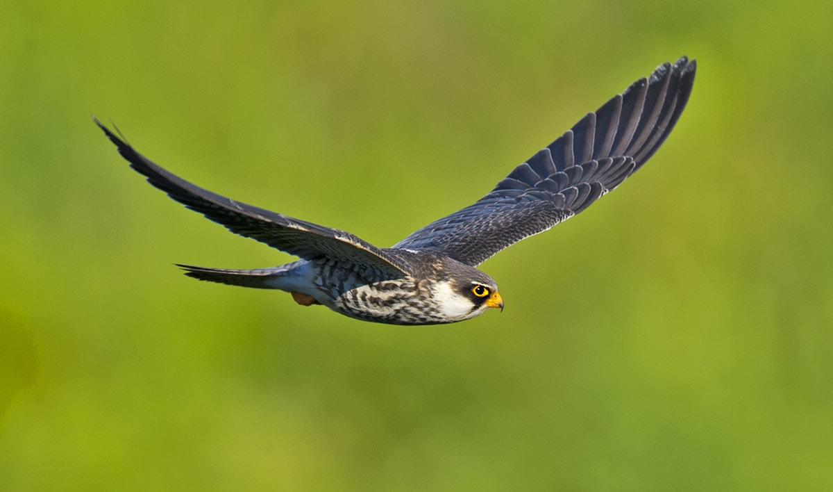 Amur falcons are not permanent residents of Doyang. The birds arrive around mid-October every year, stay for a few weeks, and then make their way across the India and the Arabian Sea to Africa, where they spend the winter months. They do not halt in Nagaland on their return journey; ornithologists are yet to understand why.