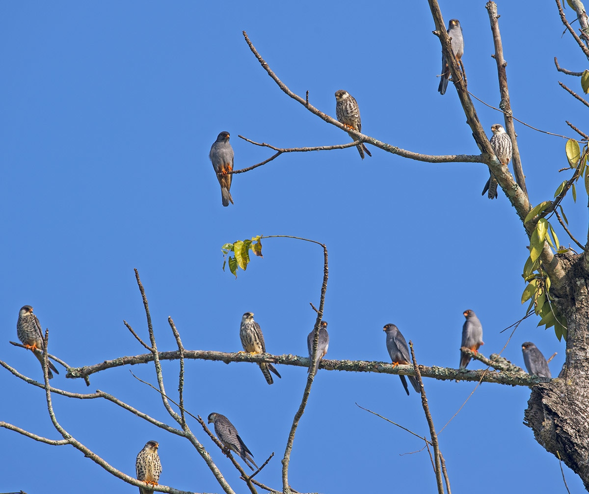 """Once they arrive in Africa, the birds disperse widely. """"I have seen them almost all over South Africa,"""" says Dr Rahmani. """"On the grasslands, sitting on wires, in small flocks of 20-50 birds. Individual birds are also common,"""" he adds. In Russia, where the falcons spend the summer months, the birds live in pairs or small groups."""